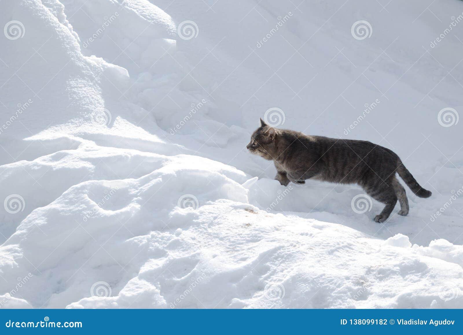 O gato está preparando-se para saltar sobre um monte de neve