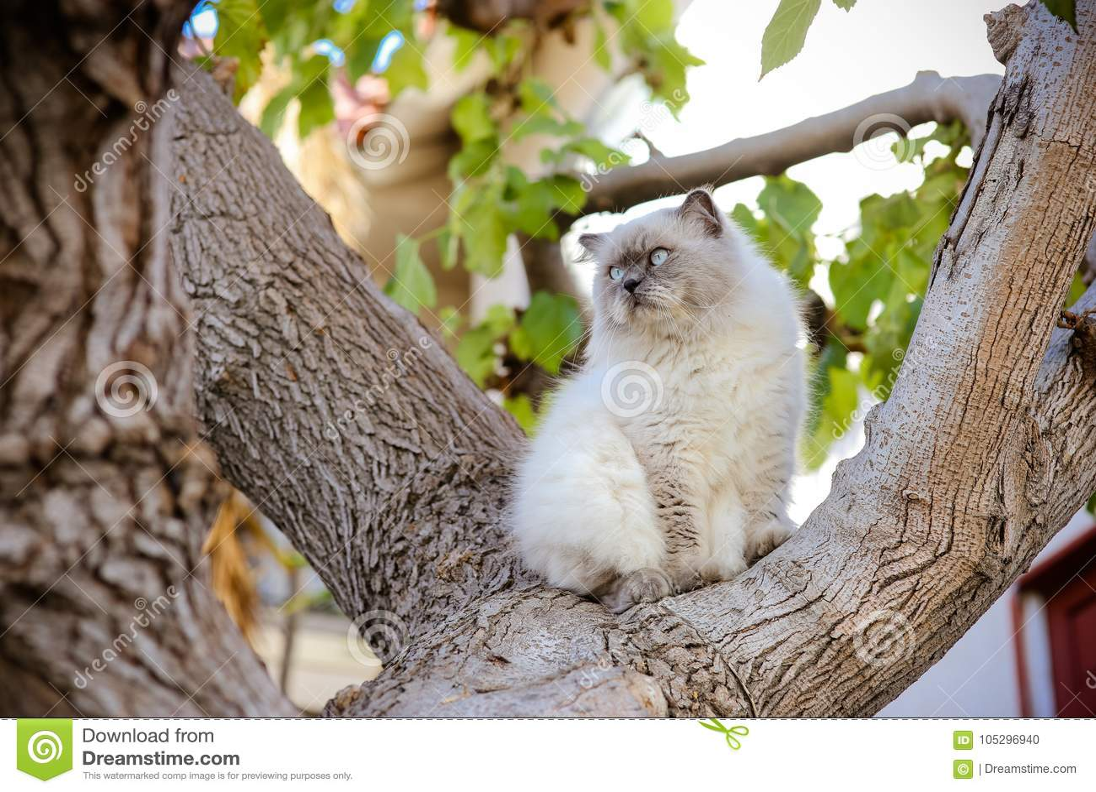 O gato Himalaia branco e cinzento sublime senta-se no relógio da árvore sobre mos