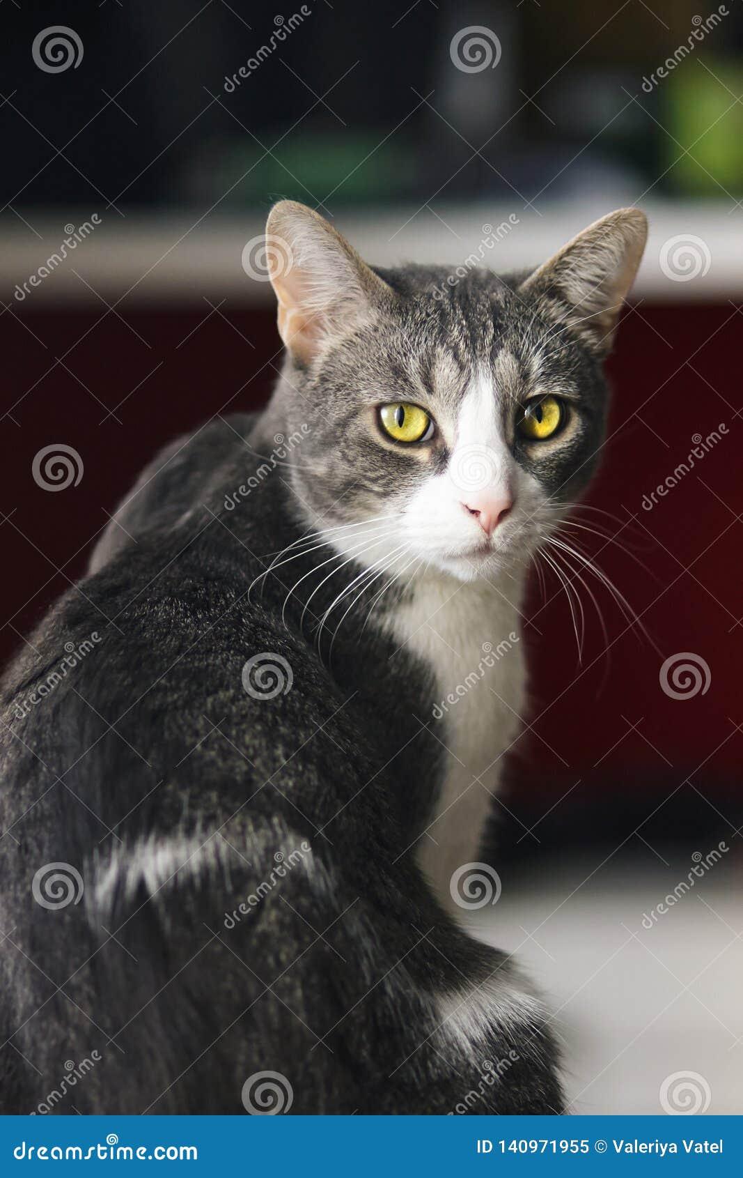 O gato listrado cinzento bonito da casa senta-se metade-girado