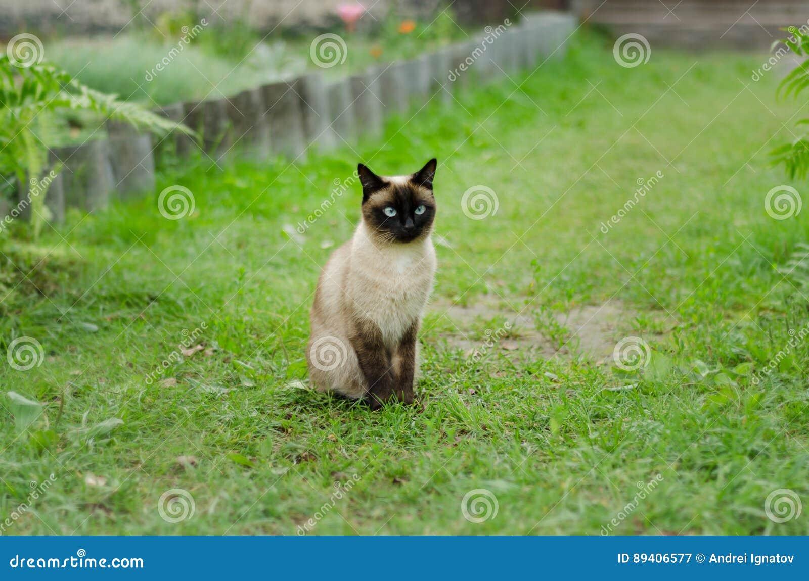 O gato marrom bonito, Siamese, com olhos azul esverdeado senta-se em uma grama verde
