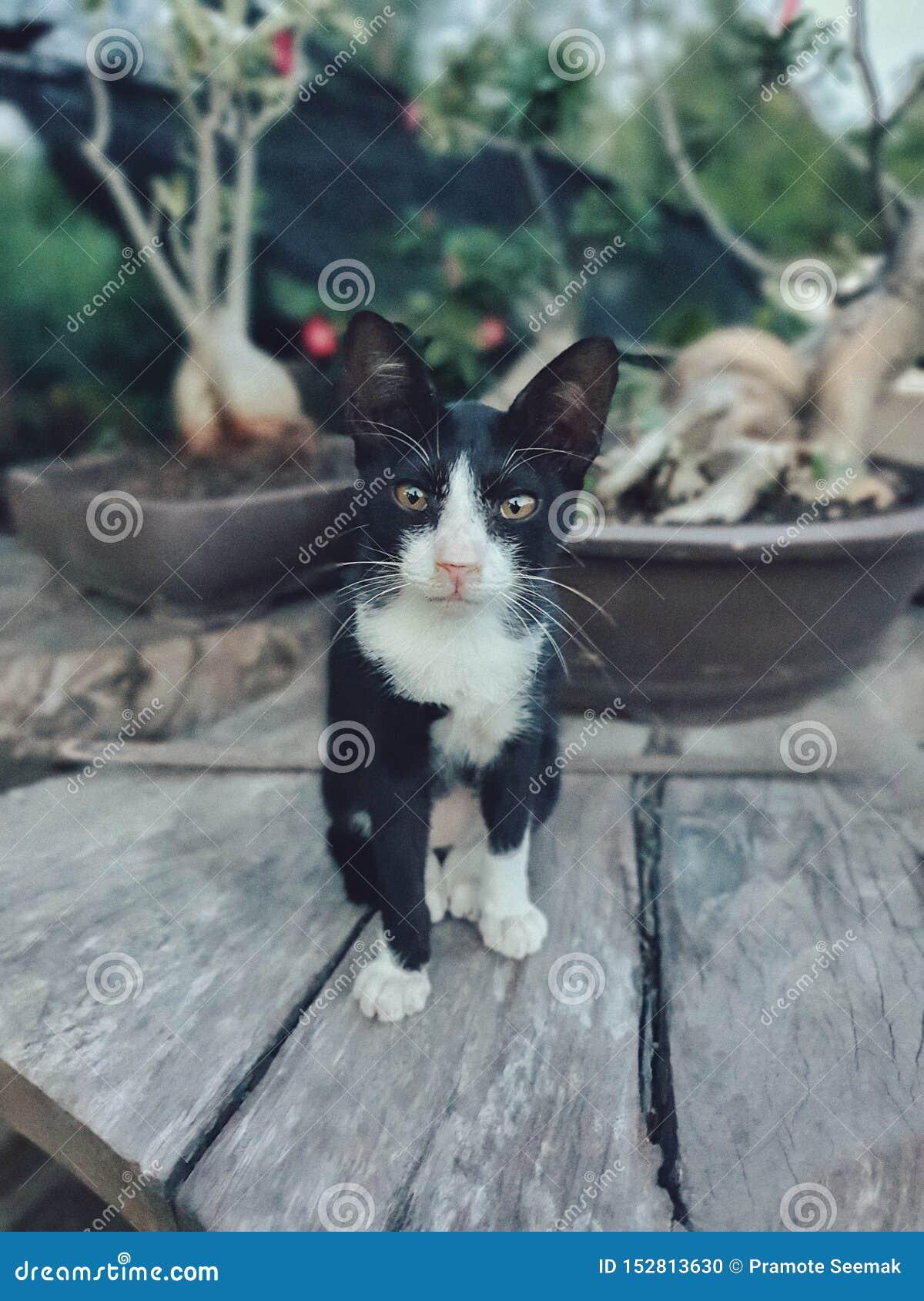 O gato pequeno siamese, o specie tailandês de gatos famosos em Tailândia