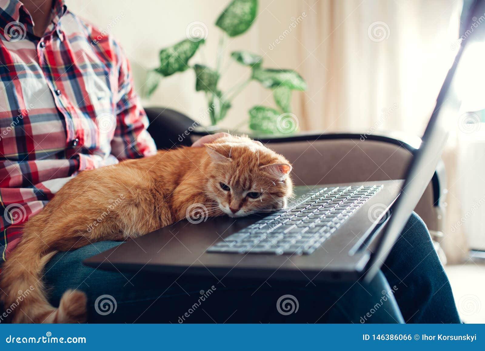 O gato vermelho senta-se nas mãos de um freelancer perto do portátil