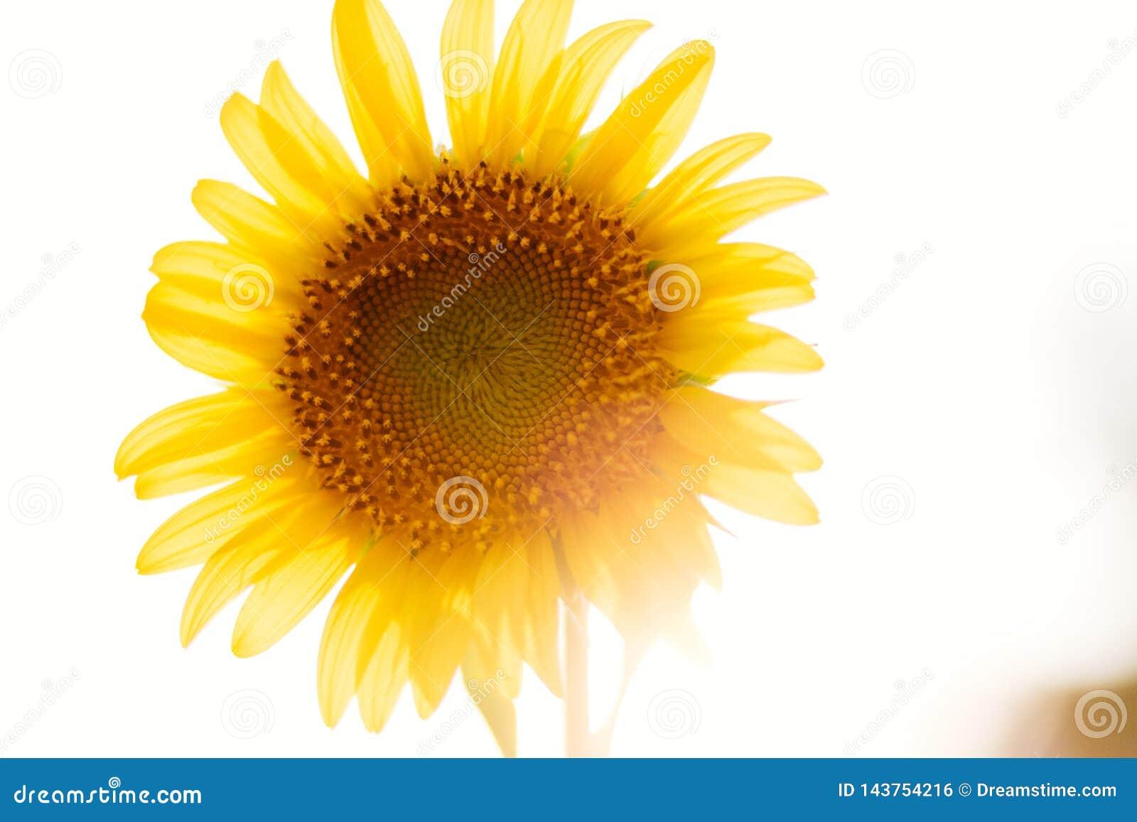 O girassol da flor com tarde