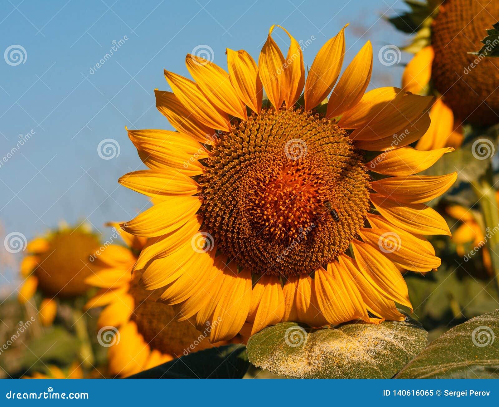 O girassol de florescência com um fim da abelha acima