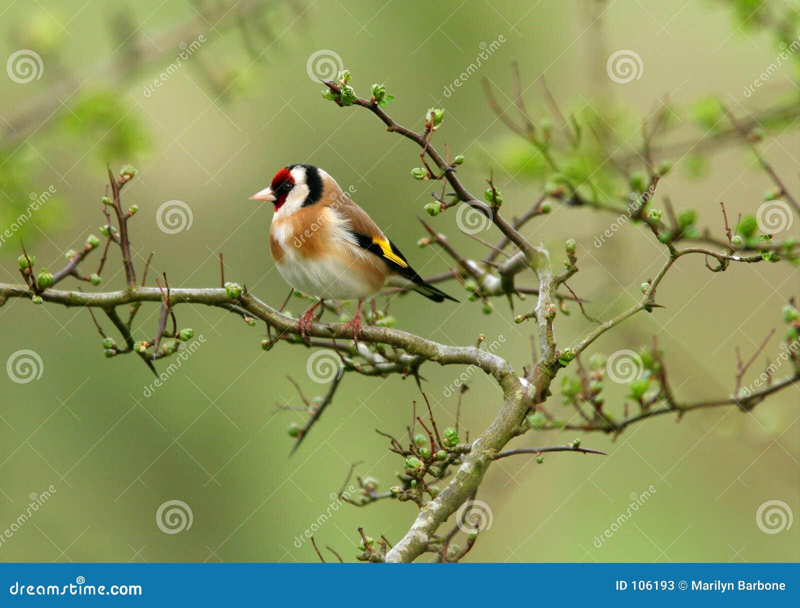 O Goldfinch