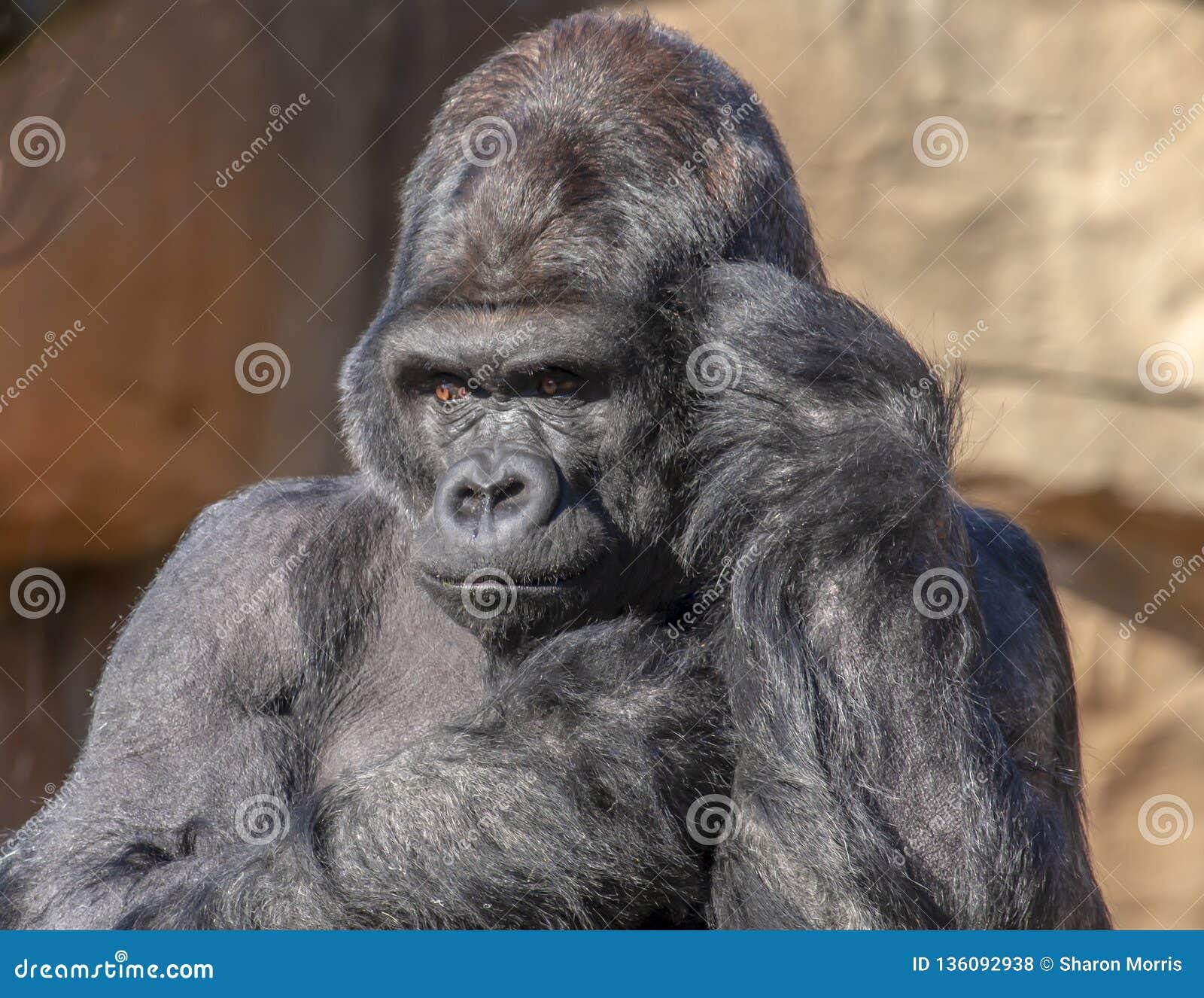 O gorila que os olhares gostam do ele está falando no telefone