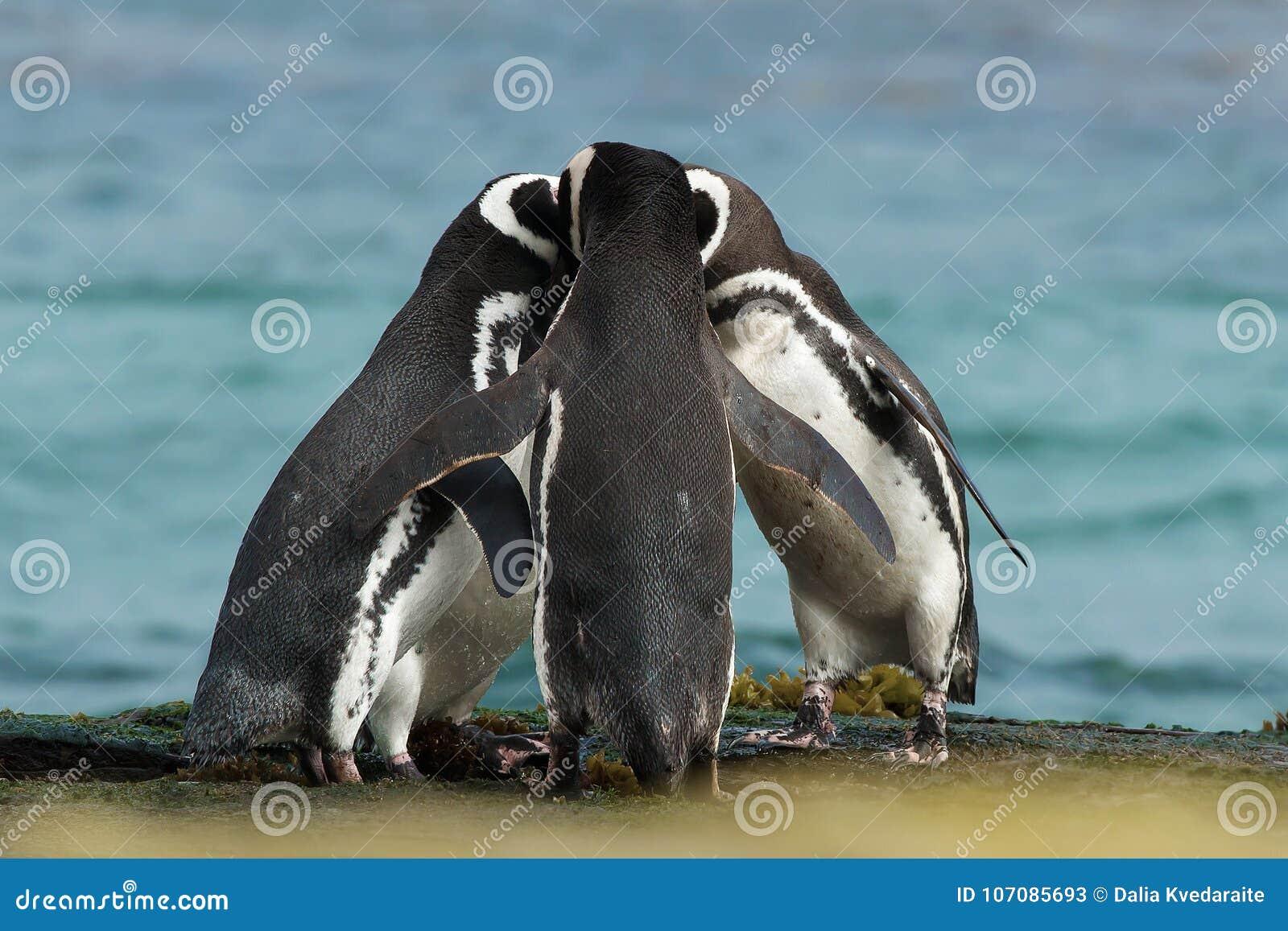 O grupo de pinguins de Magellanic recolhe junto na costa rochosa