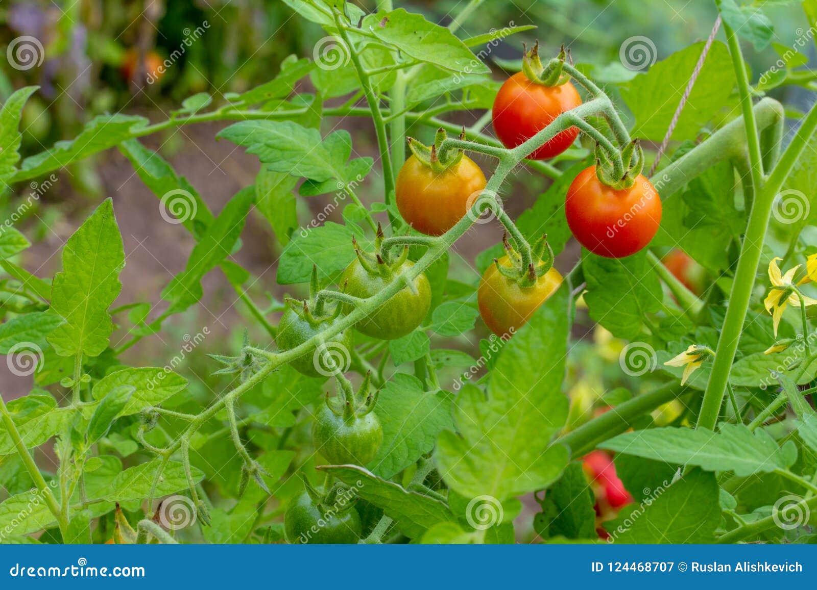 O grupo dos tomates de cereja, alguns destas bolas é vermelho, outro AR