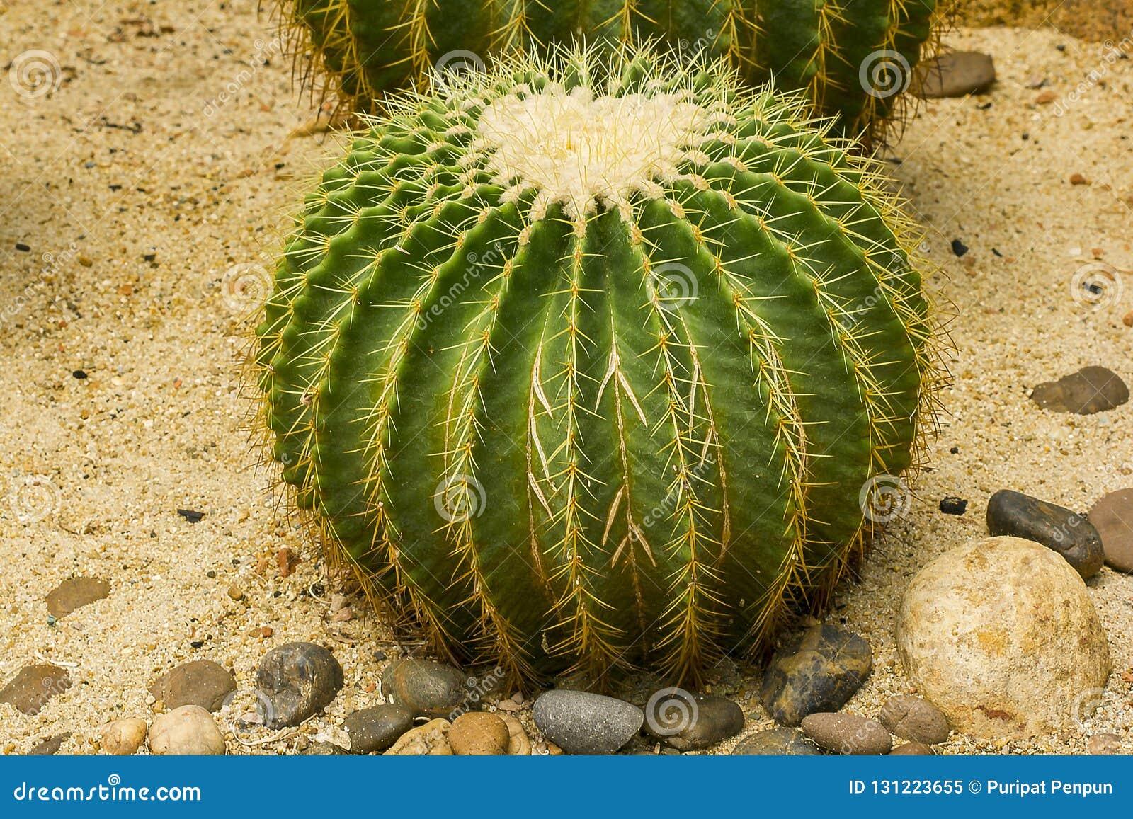 O grusonii Hilda Cactus de Echinocactus é um cultivar popular