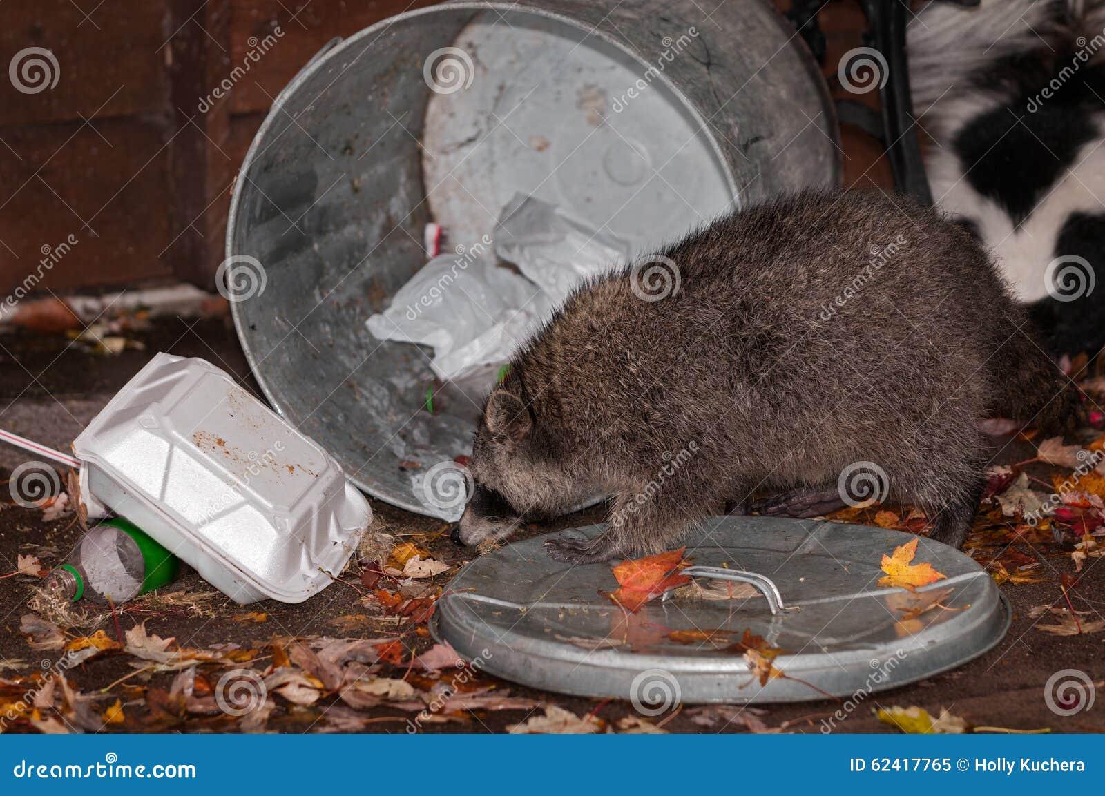 O guaxinim (lotor do Procyon) invade o balde do lixo com a jaritataca no fundo