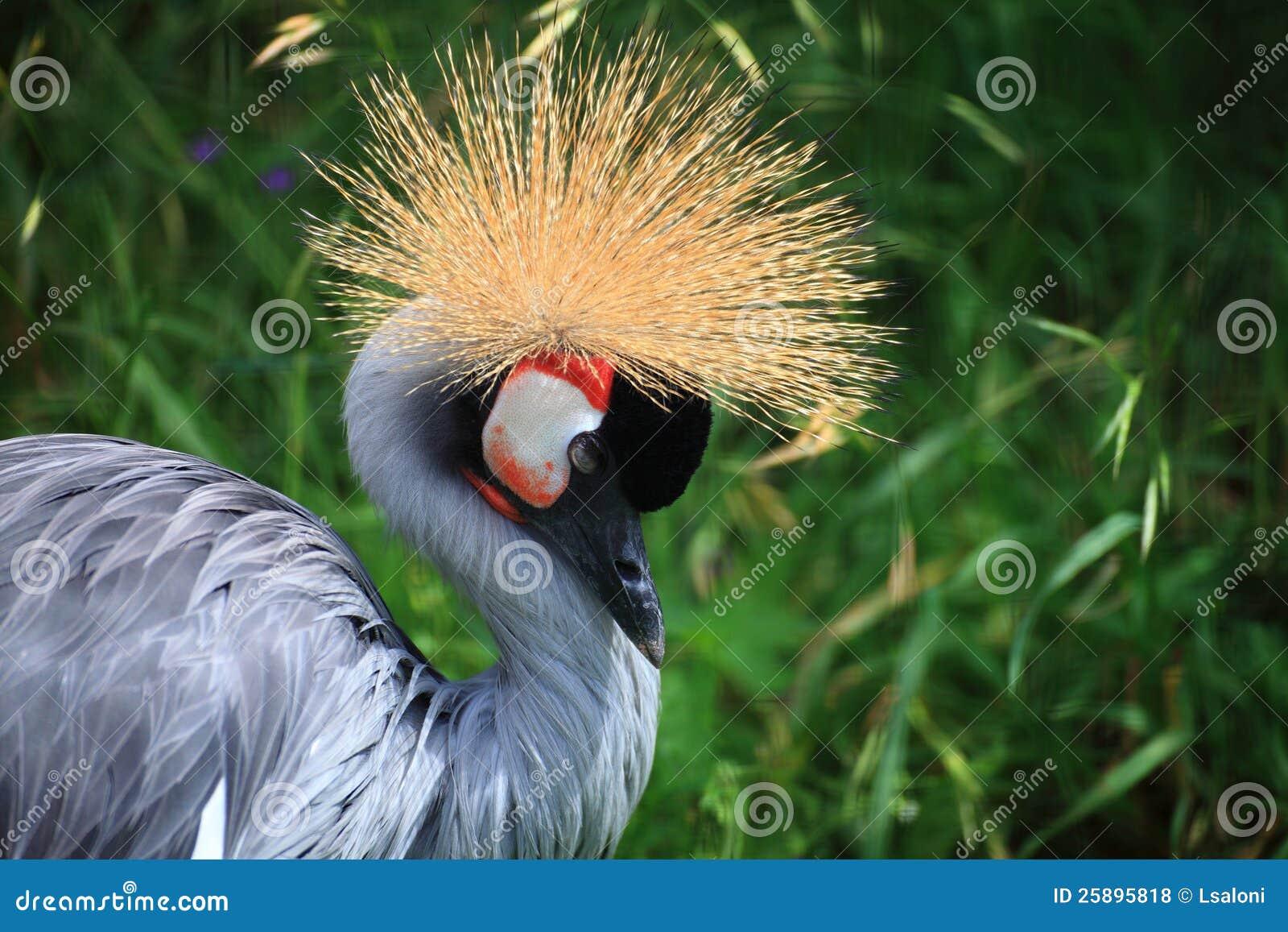 O guindaste coroado africano crested