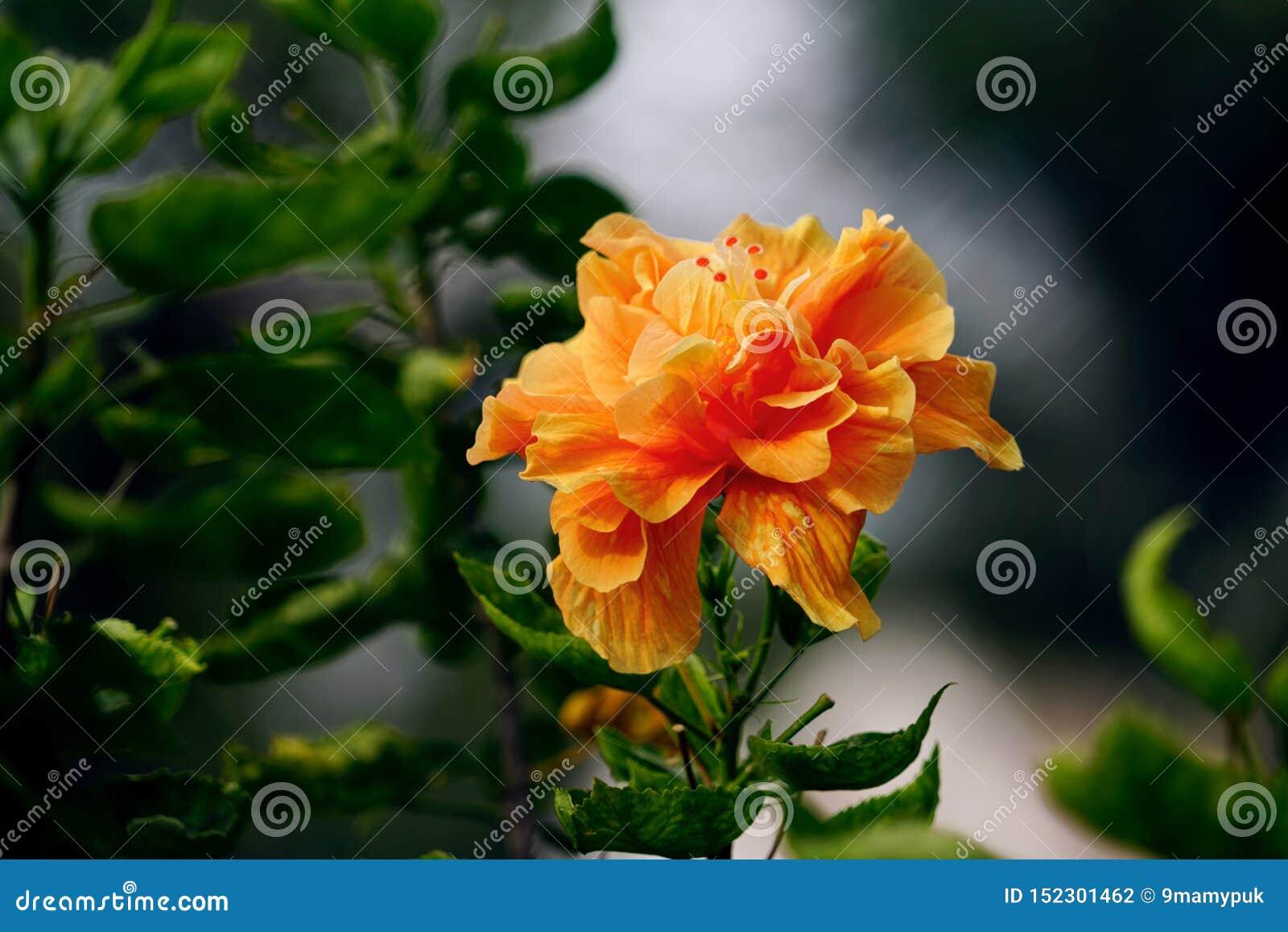 O hibiscus ou o chinês alaranjado aumentaram flor com fundo verde das folhas