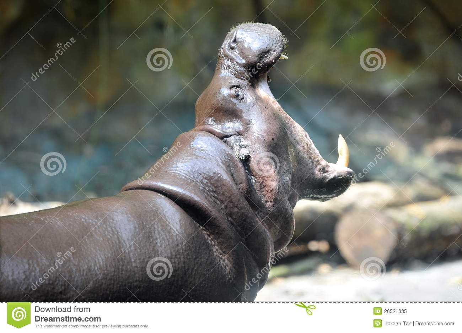 O hippopotamus do pigmeu abre sua boca