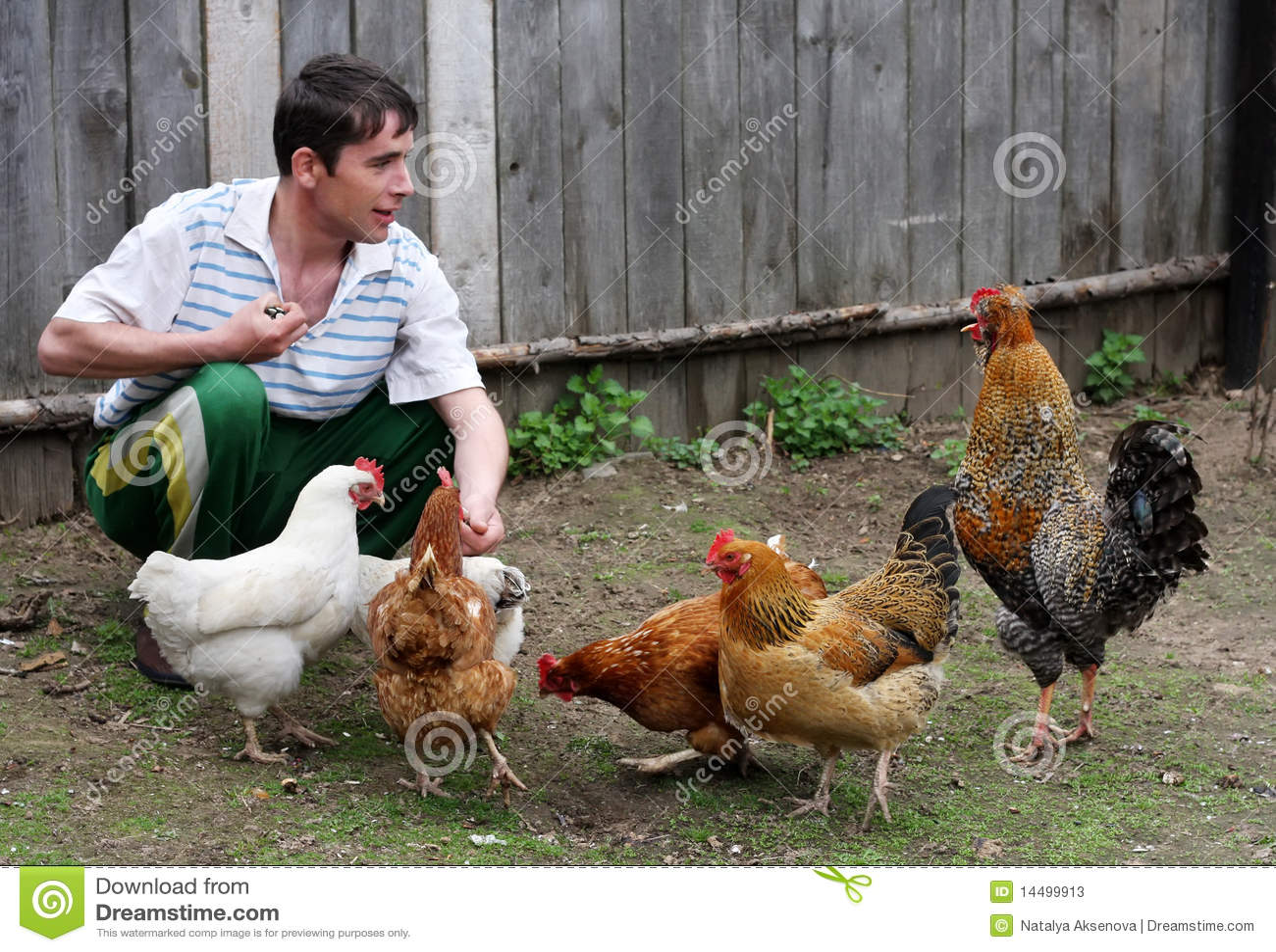 O homem alimenta galinhas