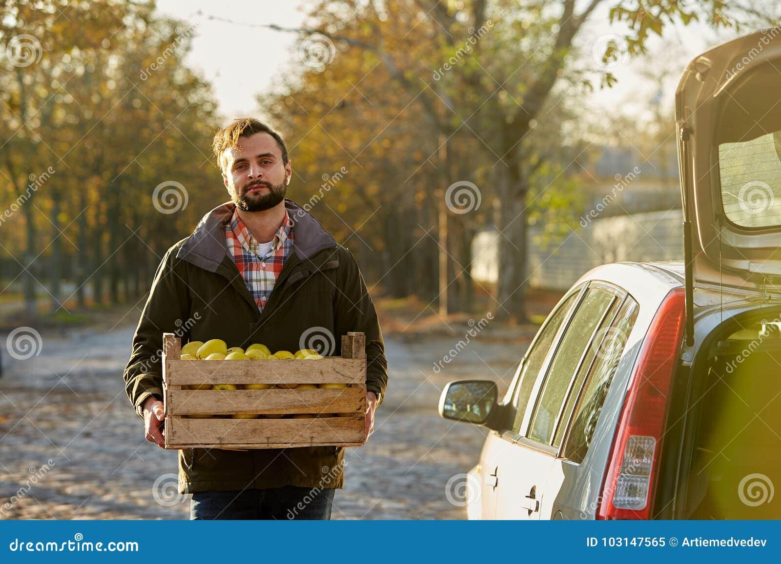 O homem com a caixa de madeira de maçãs douradas maduras amarelas na exploração agrícola do pomar carrega-à seu tronco de carro C