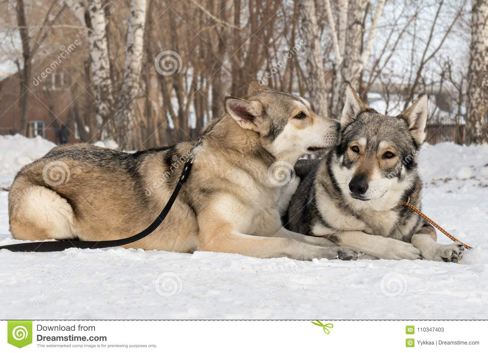 O Homem E A Fêmea Bonitos Do Cão Caçador De Lobos De Saarloos No