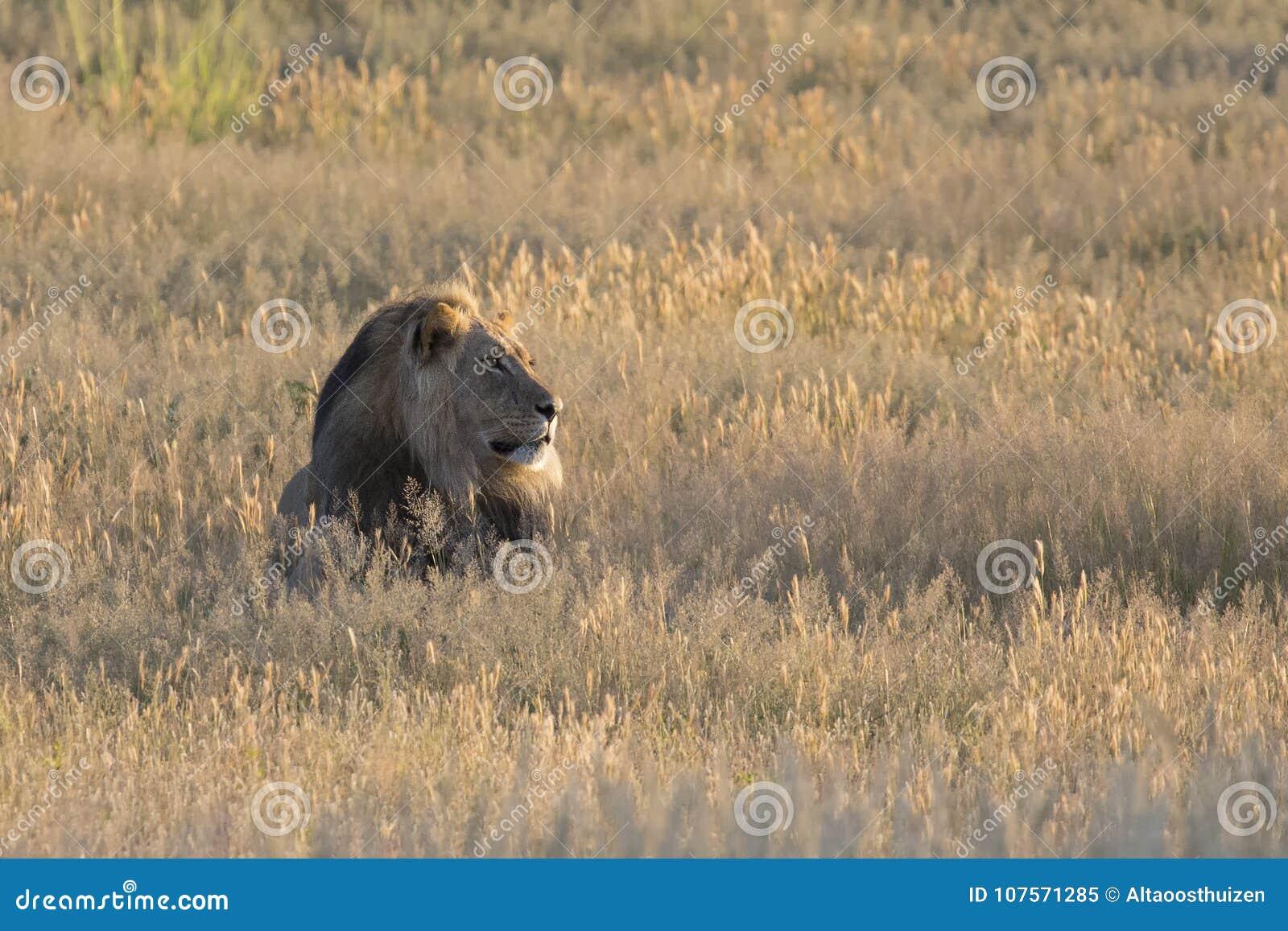 O homem solitário do leão estabelece para descansar na grama de Kalahari