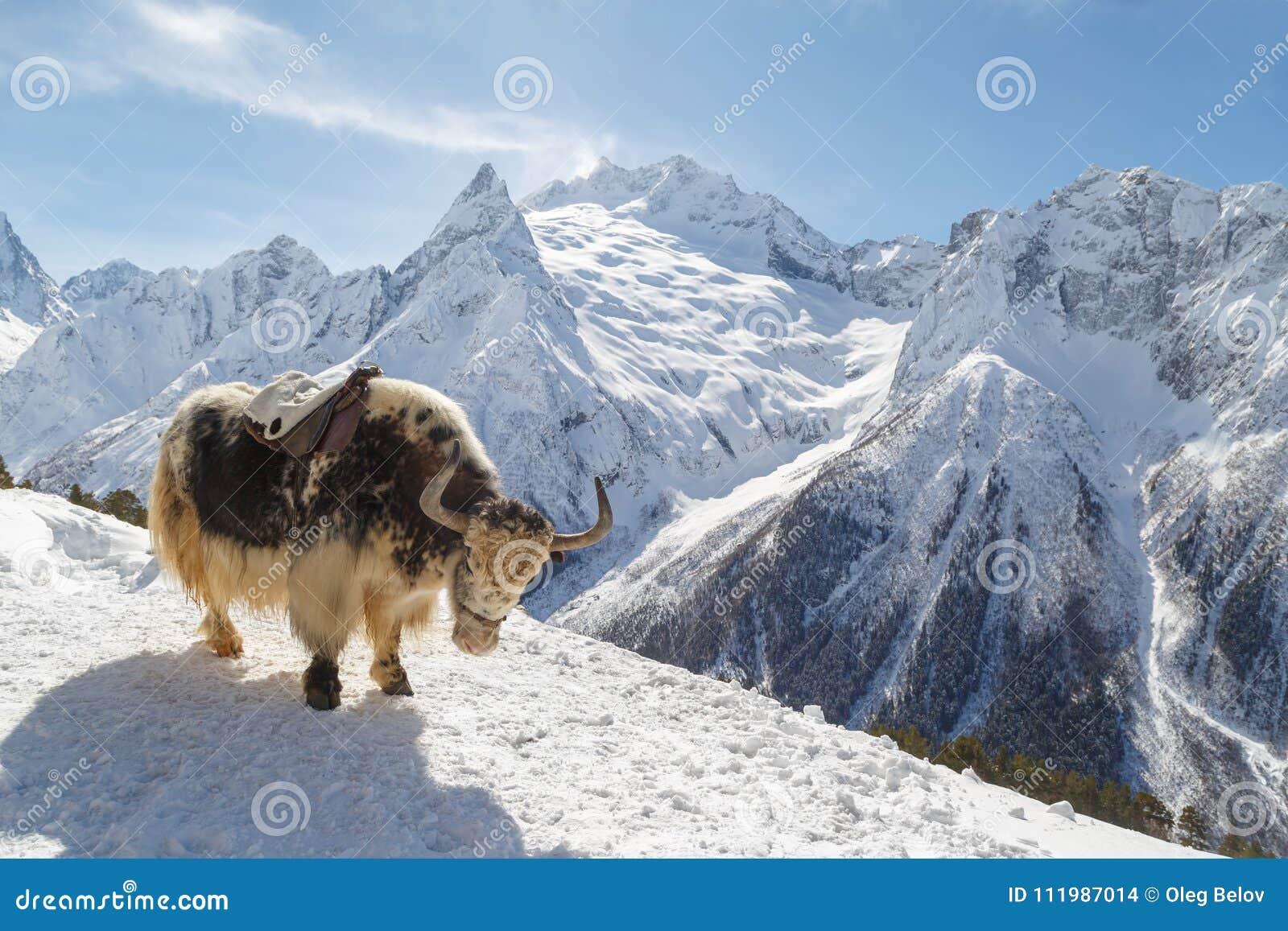 O iaque manchado está na montanha contra o contexto das montanhas caucasianos, Dombai em um dia ensolarado do inverno