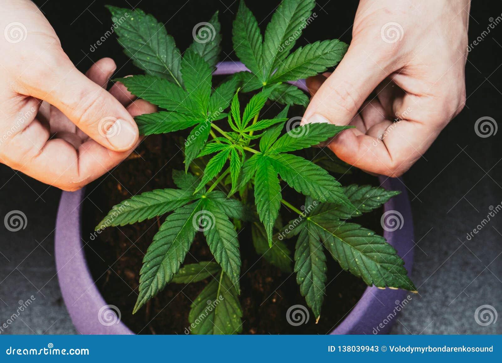 O indivíduo está guardando as folhas da planta de marijuana médica Cannabis que cresce interno