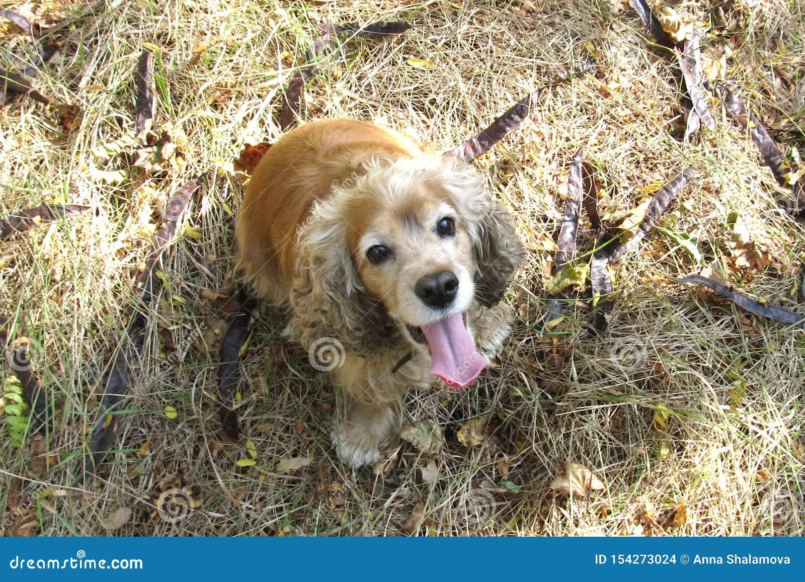 O inglês que Cocker Spaniel se senta no cão ativo vermelho da floresta A do outono senta-se na grama do outono com folhas e casta