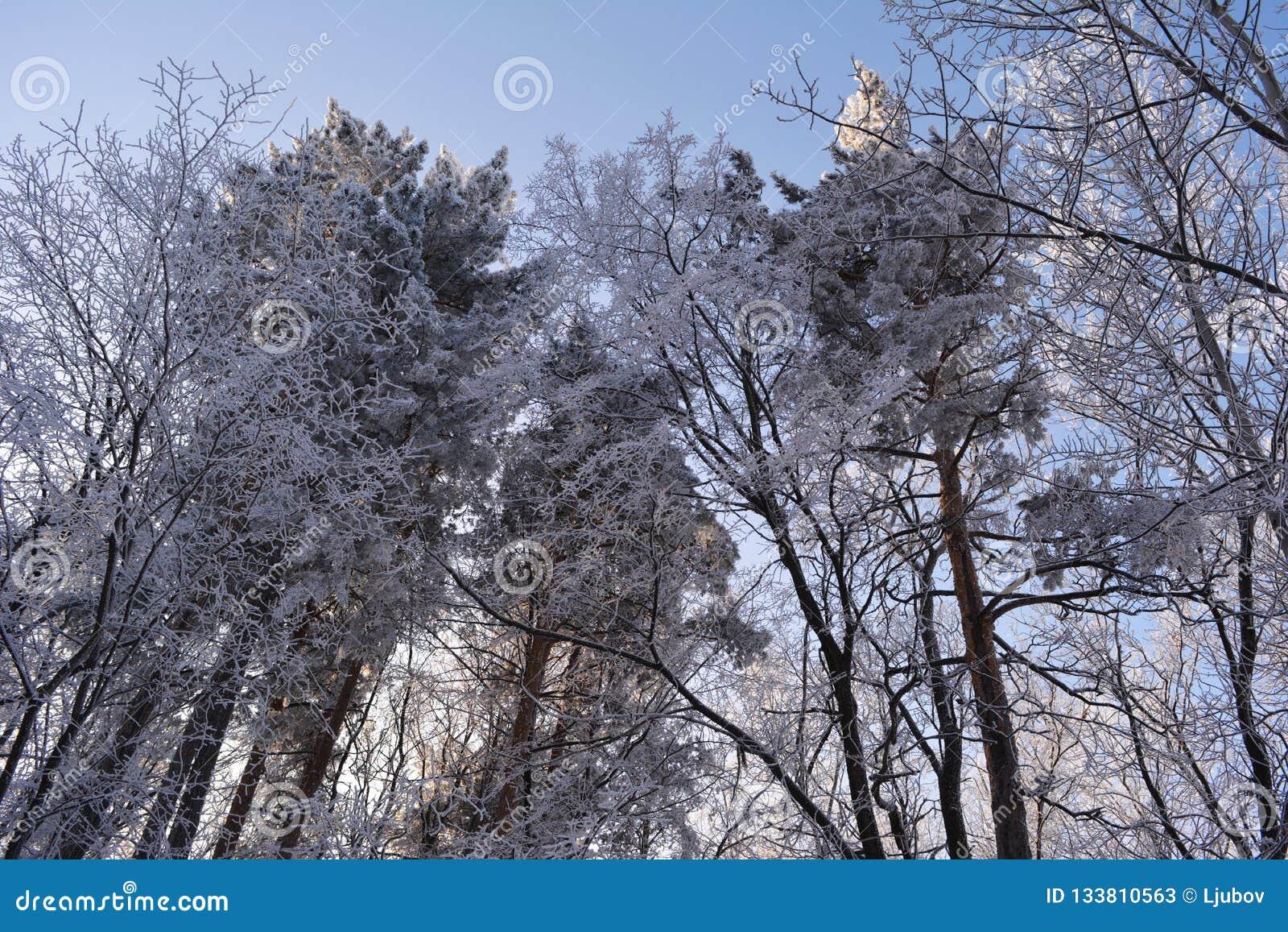 O inverno misturou a floresta coberta pela paisagem invernal da geada da neve