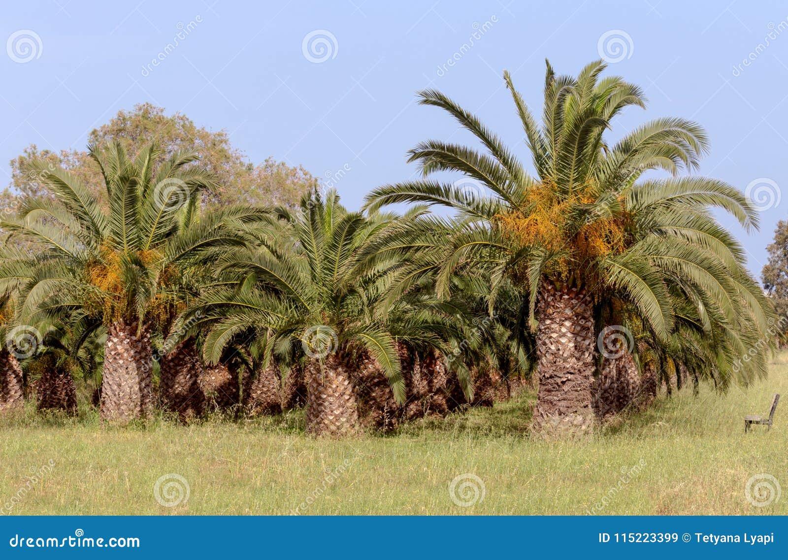 O jardim das palmas de data