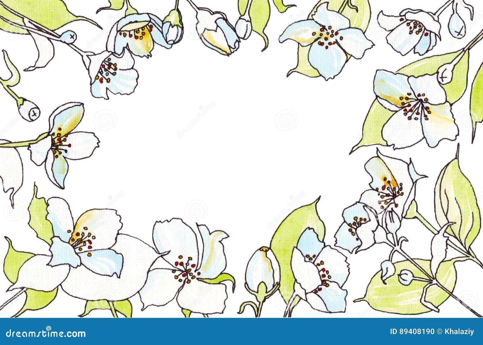 O jasmim floresce o esboço da aquarela