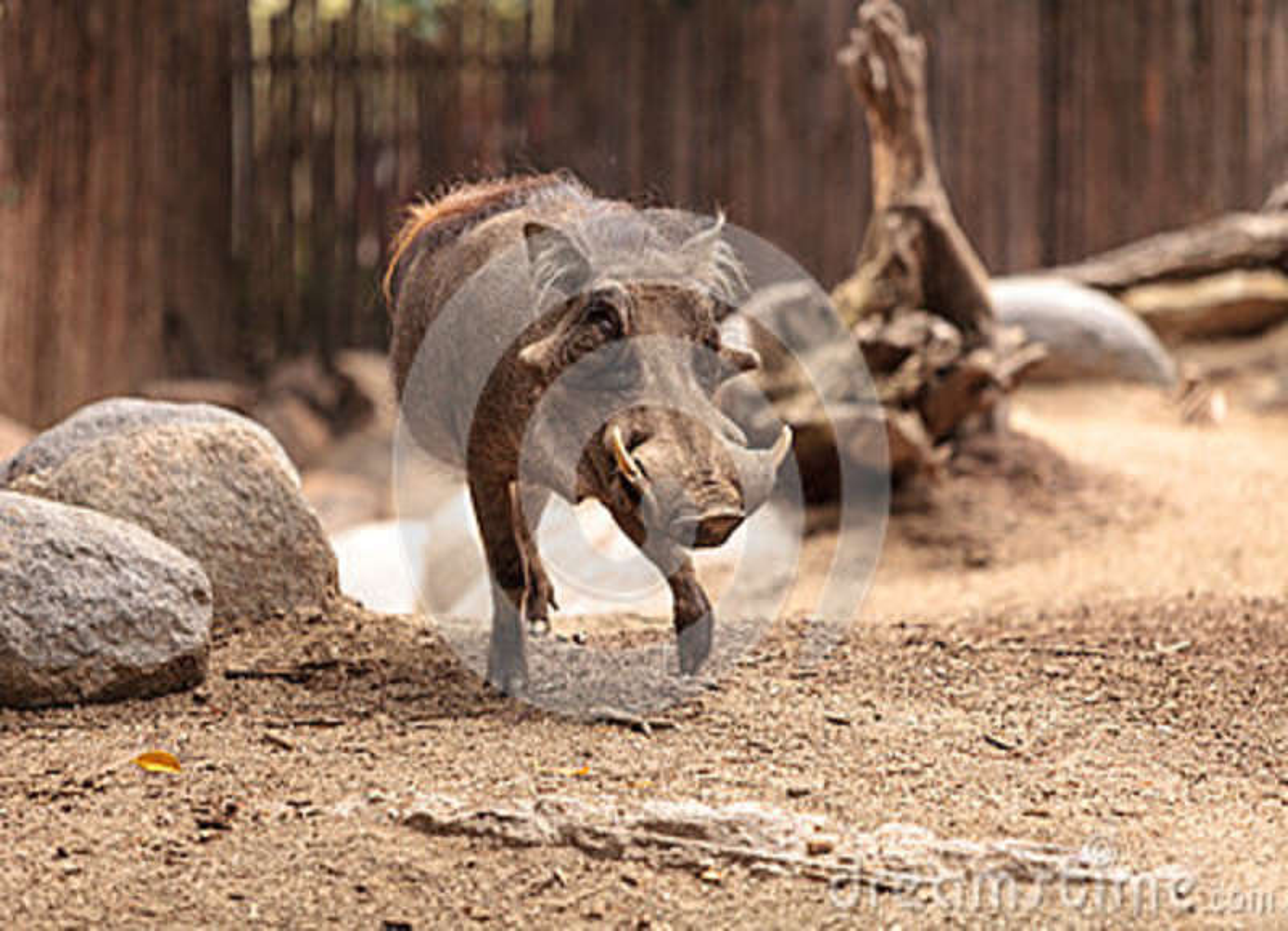 O javali africano comum chamou o africanus de Phacochoerus