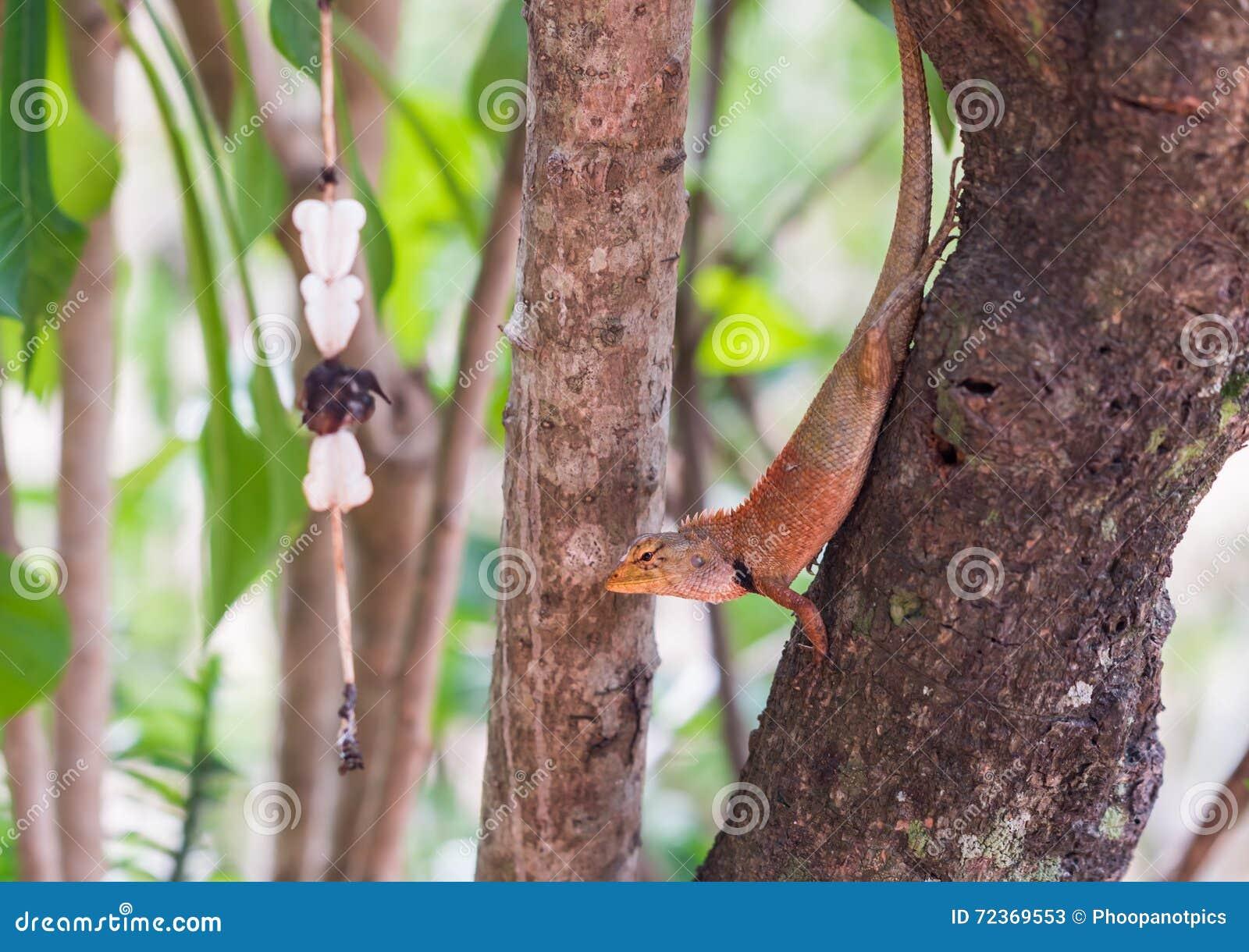 O lagarto pequeno de Ásia
