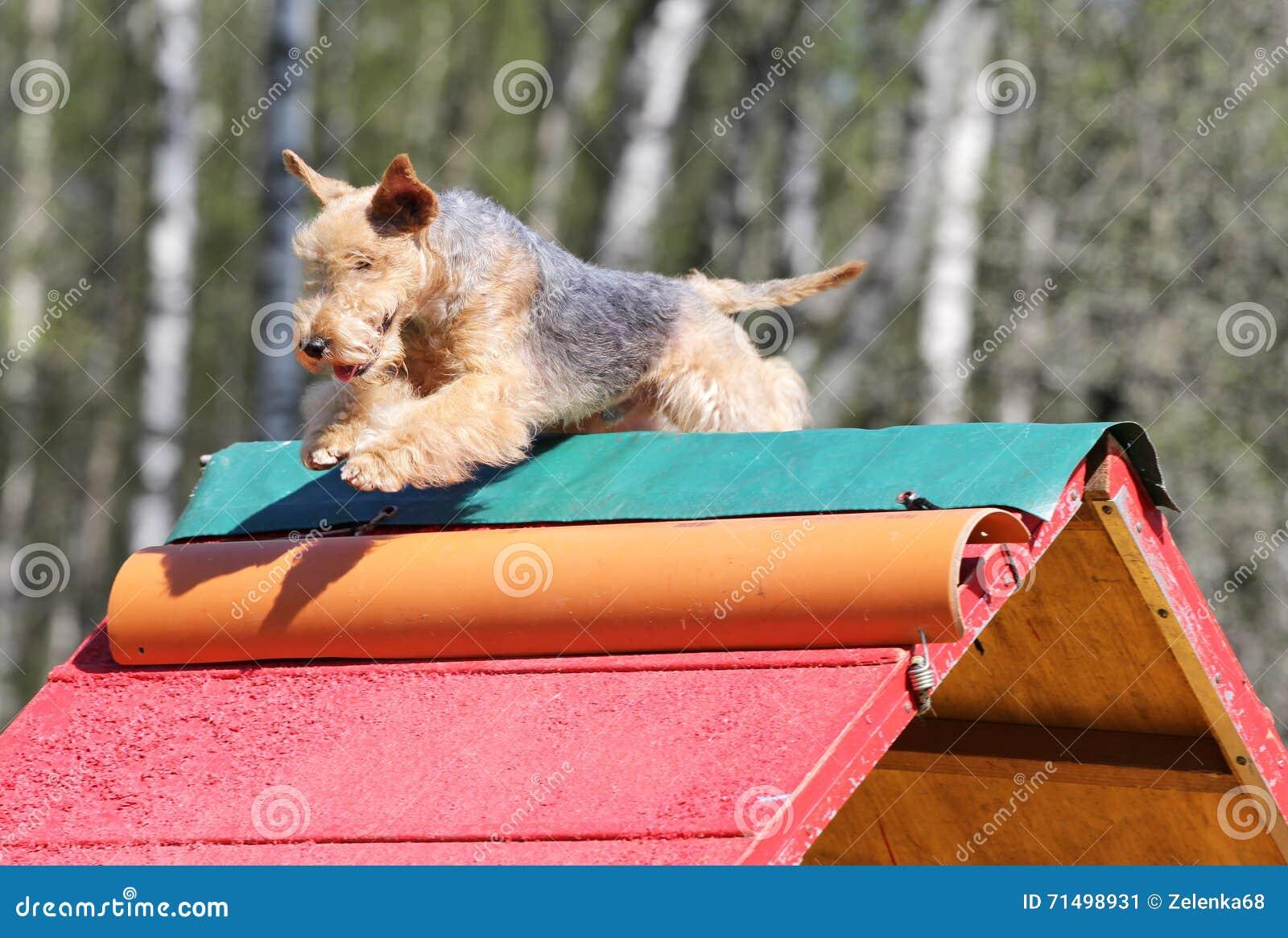 O Lakeland Terrier no treinamento na agilidade do cão