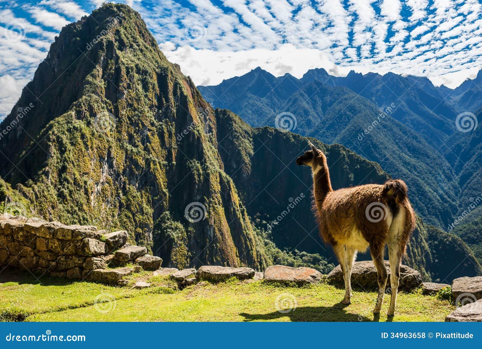 O lama Machu Picchu arruina o Peru peruano de Andes Cuzco