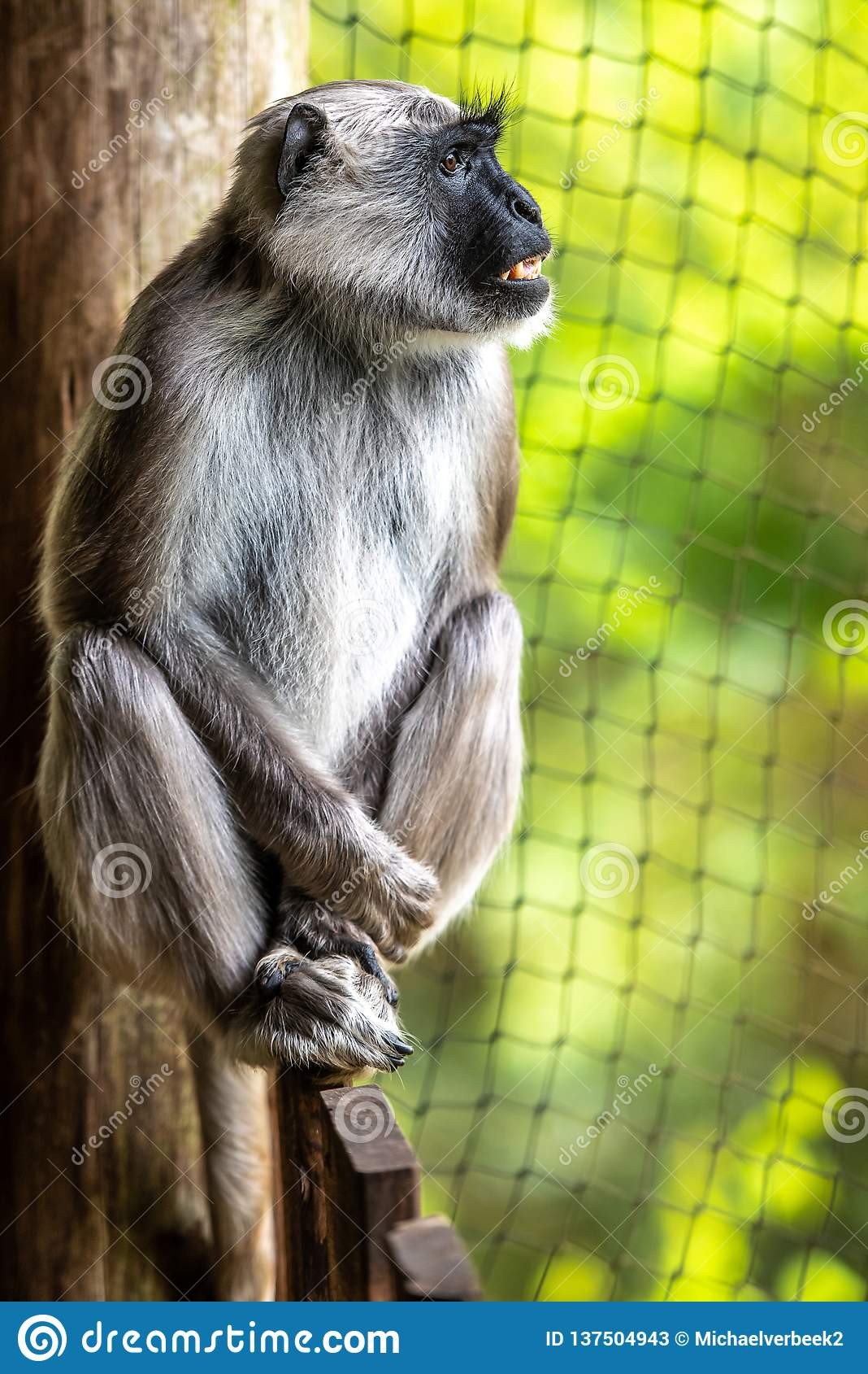 O langoer de Hanuman está olhando uma cerca