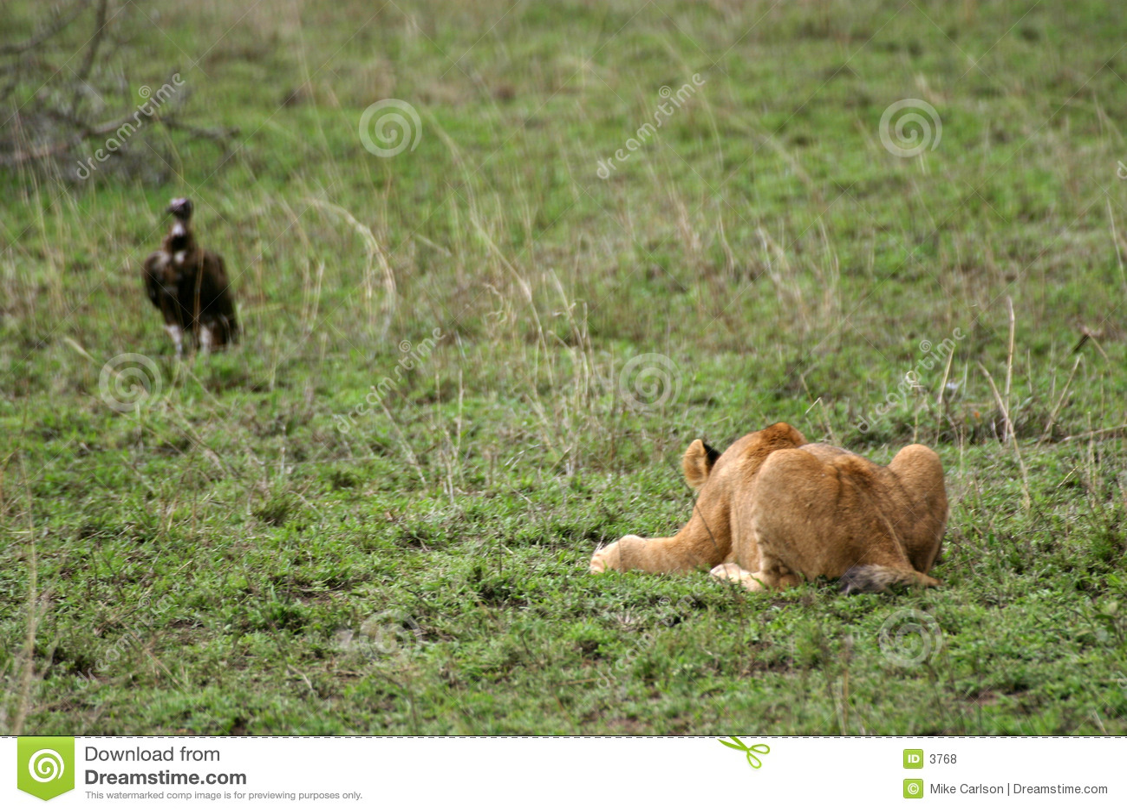 O leão Cub ataca a prática