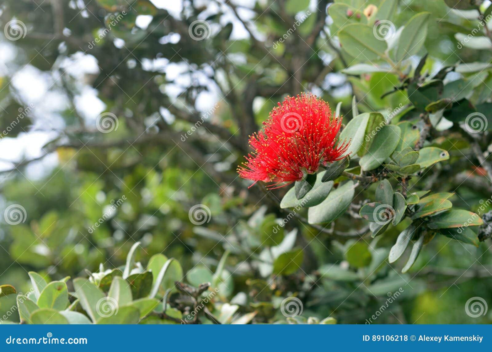 O lehua de florescência do polymorpha de Metrosideros planta endêmico a Havaí