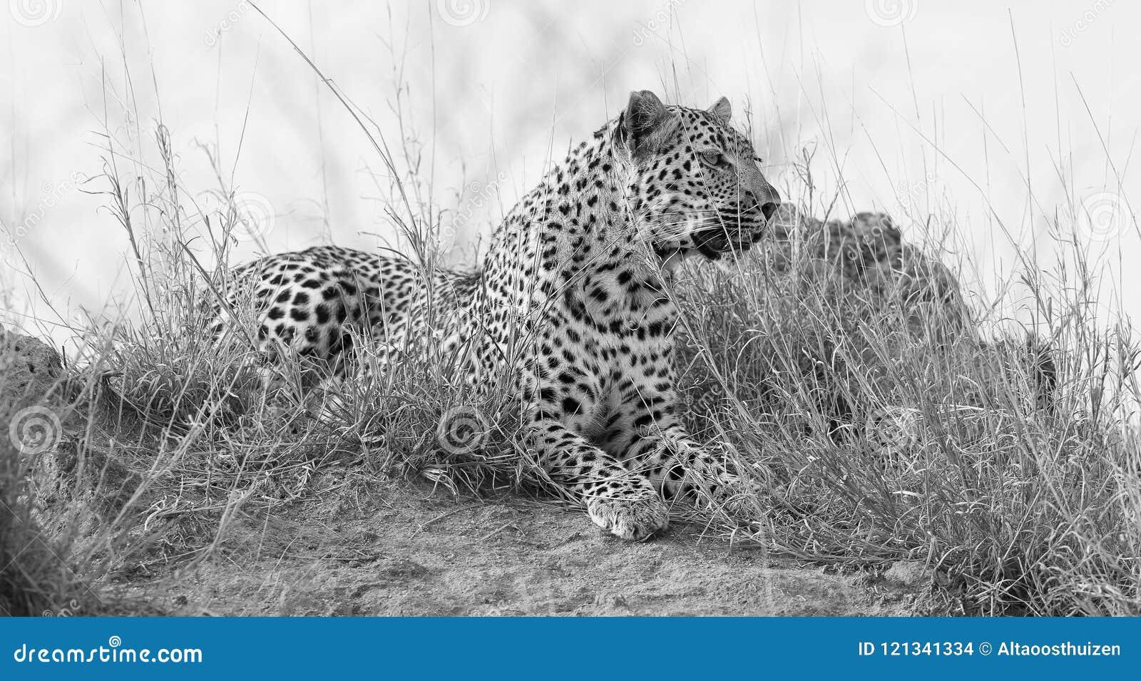O leopardo solitário estabelece para descansar no formigueiro na natureza durante o daytim