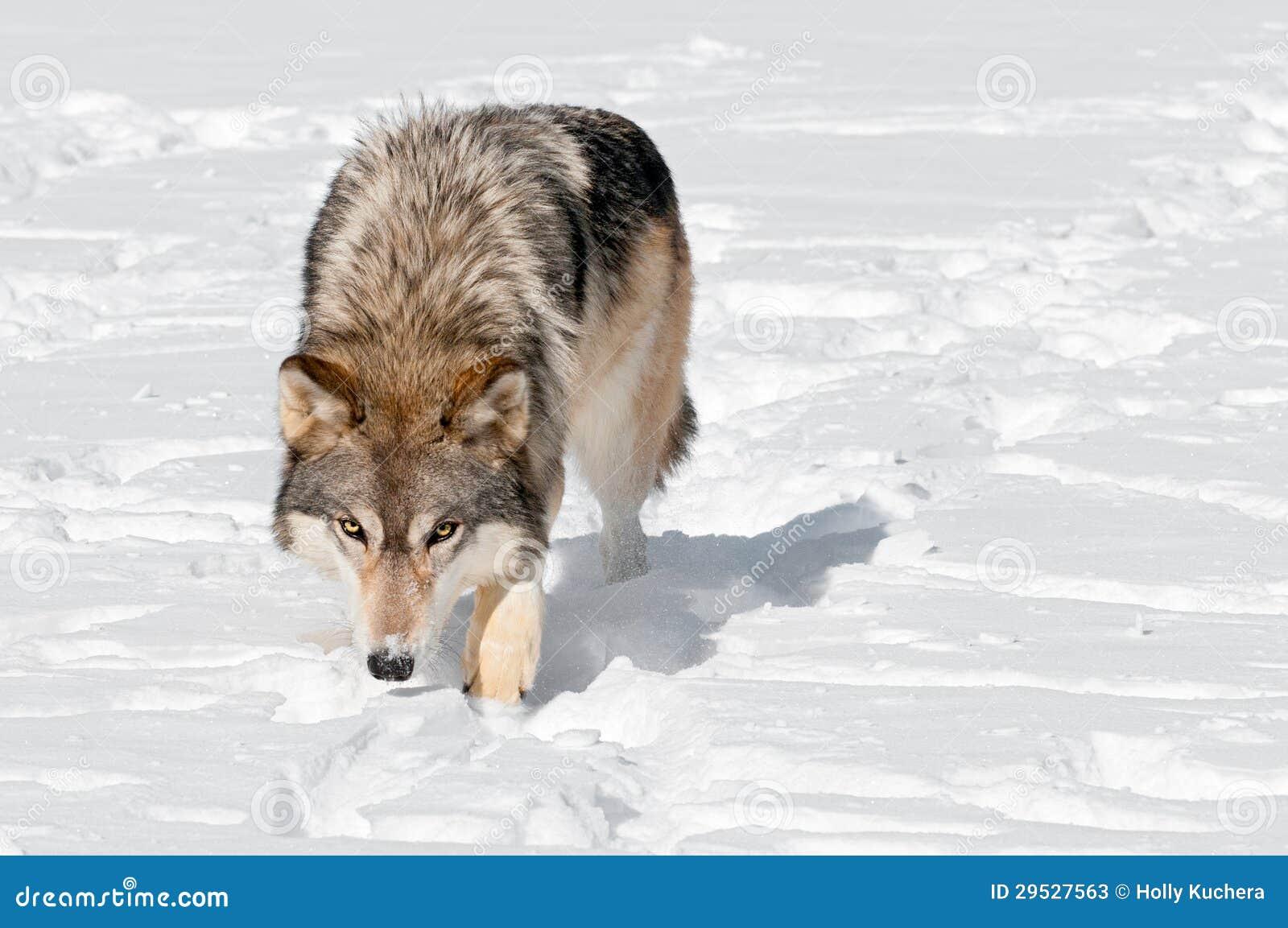 O lobo cinzento (lúpus de Canis) Prowls para o visor através da neve