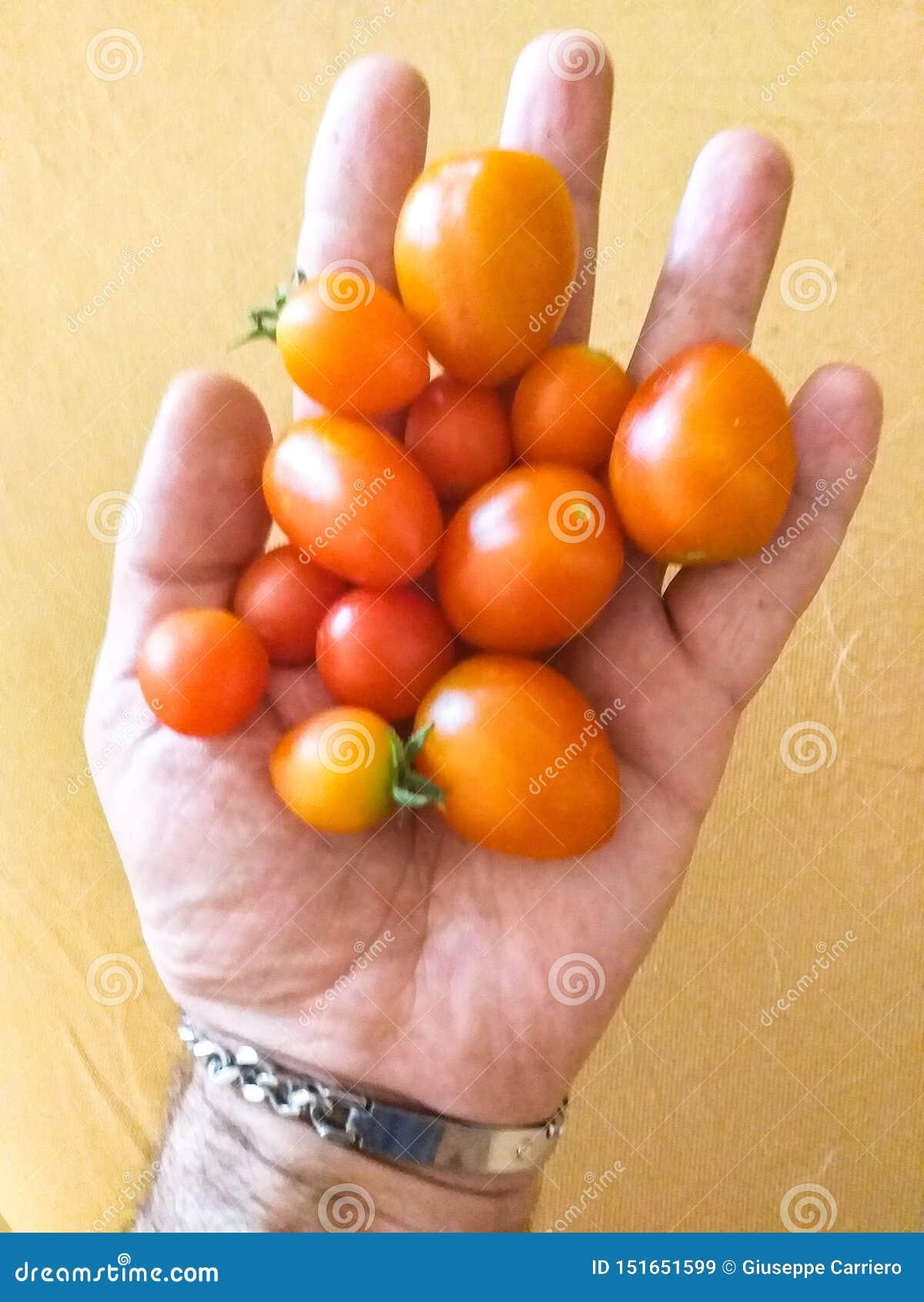 O lycopersicum do Solanum do tomate, L 1753 - identificado de acordo com o código internacional da nomenclatura botânica ICBN Sp