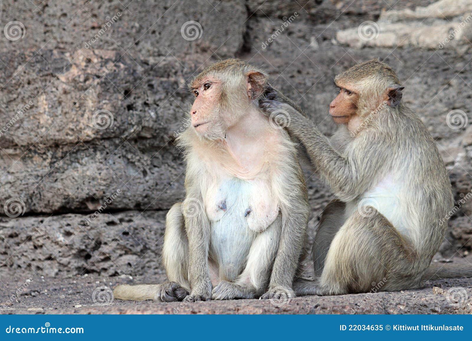 O macaco aprecia procurarar por erros