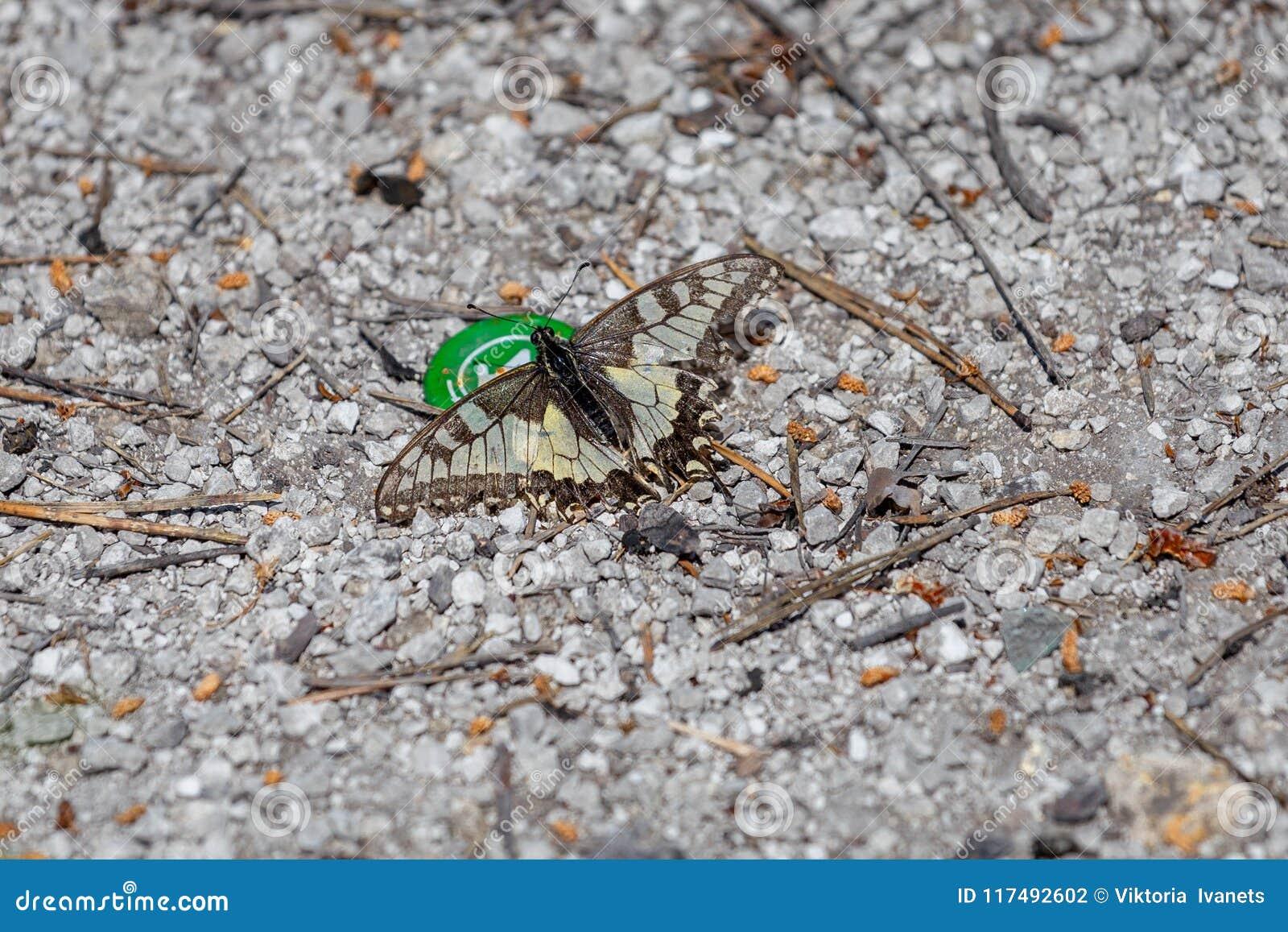 O machaon de Papilio da borboleta do swallowtail do Velho Mundo empoleirou-se na flor amarela com fundo borrado