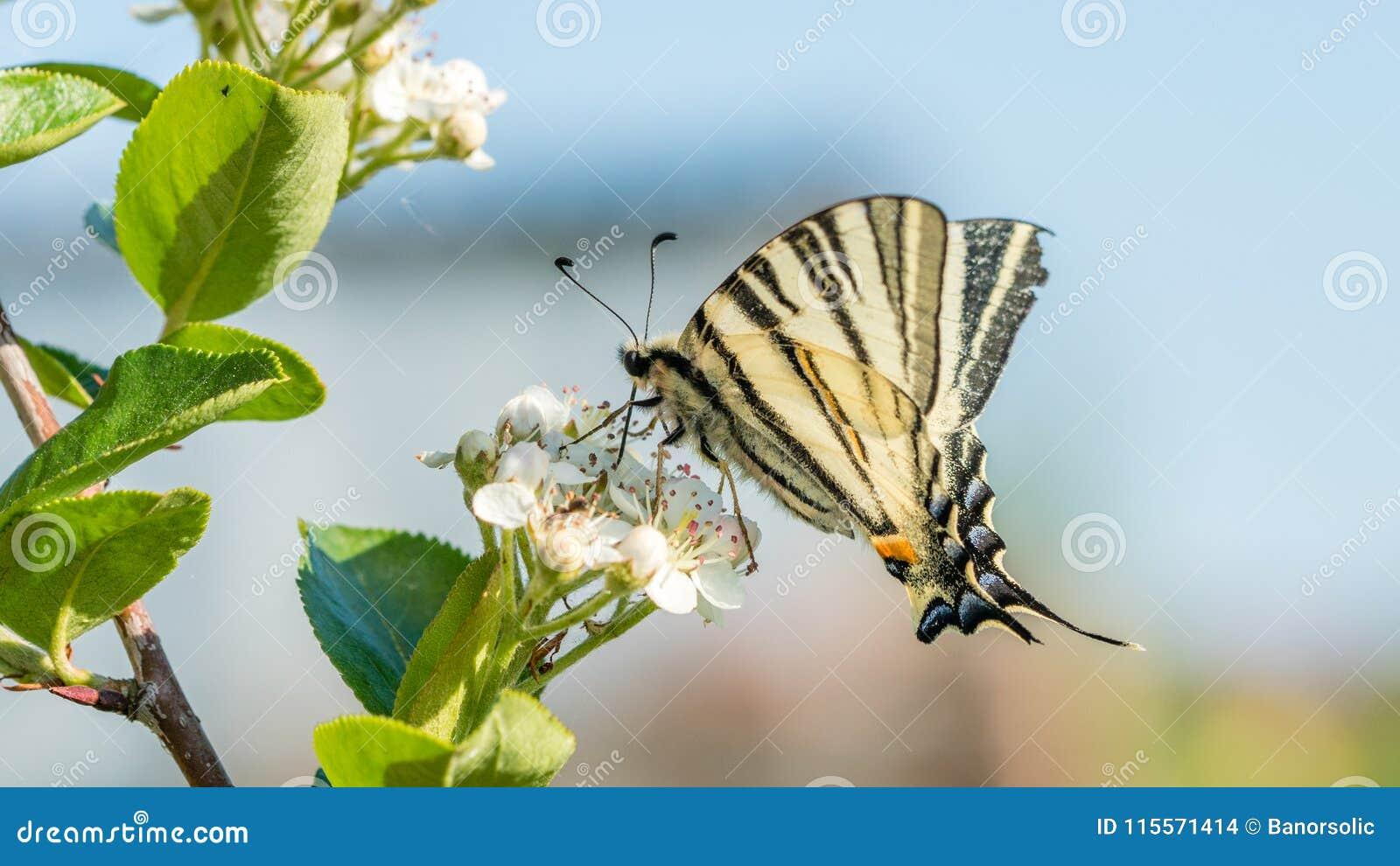 O machaon de Papilio, o Velho Mundo ou swallowtail amarelo comum, é uma borboleta da família Papilionidae