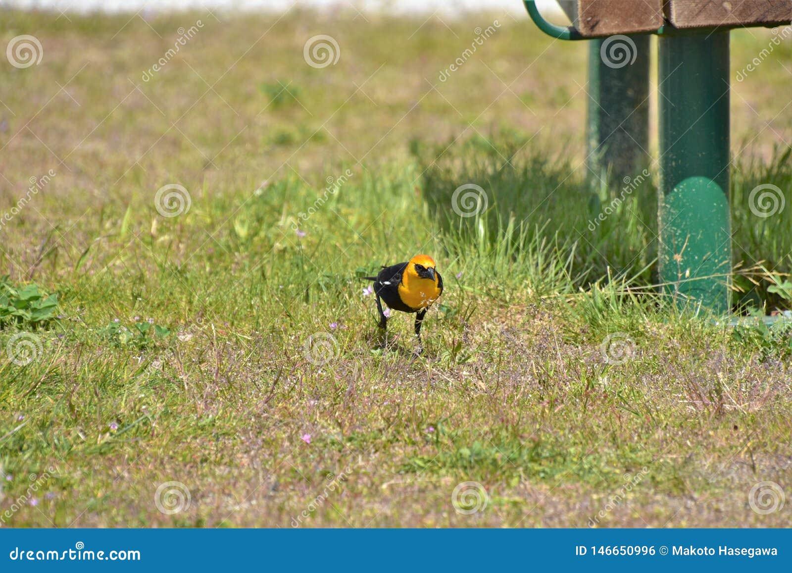 O melro Amarelo-dirigido está empoleirando-se na terra