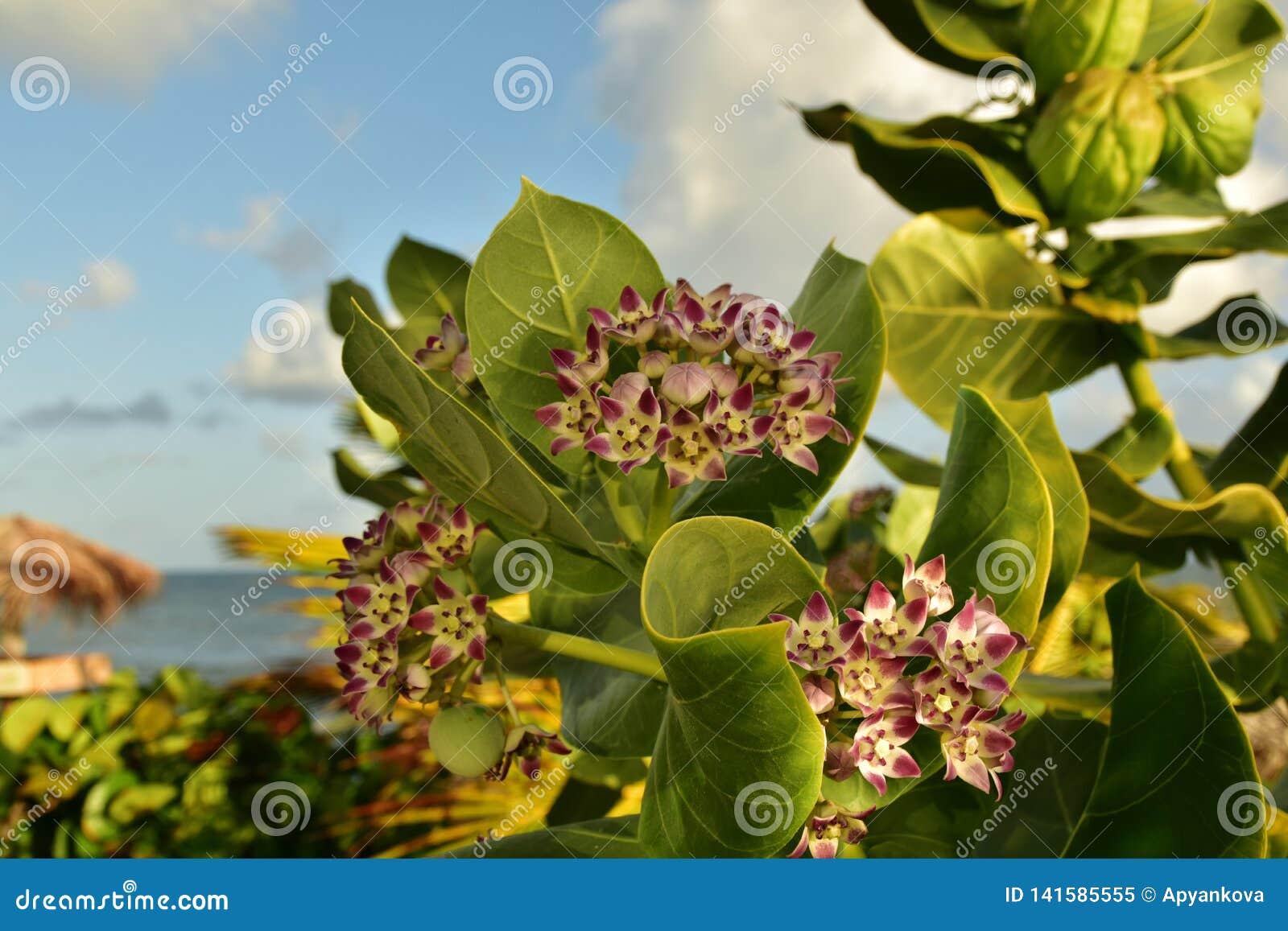 O Milkweed tropical é um membro do Asclepiadaceae da família de milkweed