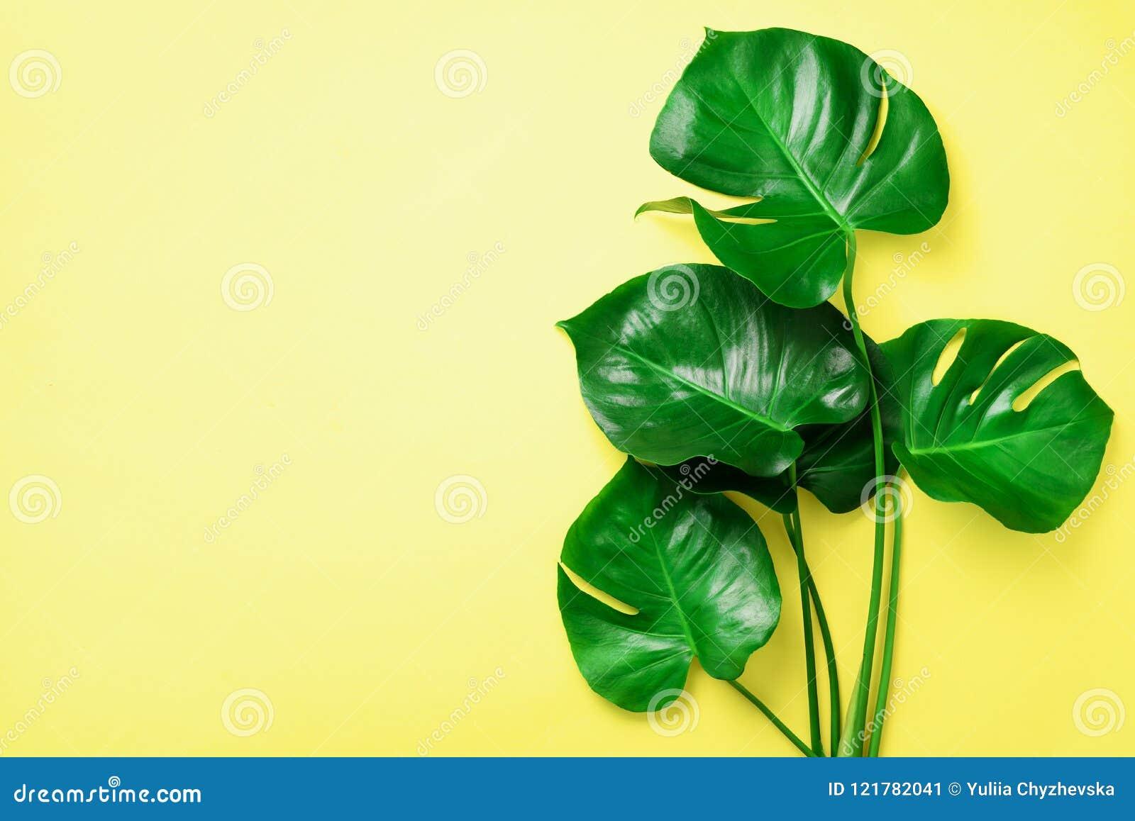 O monstera verde sae no fundo amarelo com o espaço da cópia Vista superior Projeto mínimo Planta exótica verão criativo liso