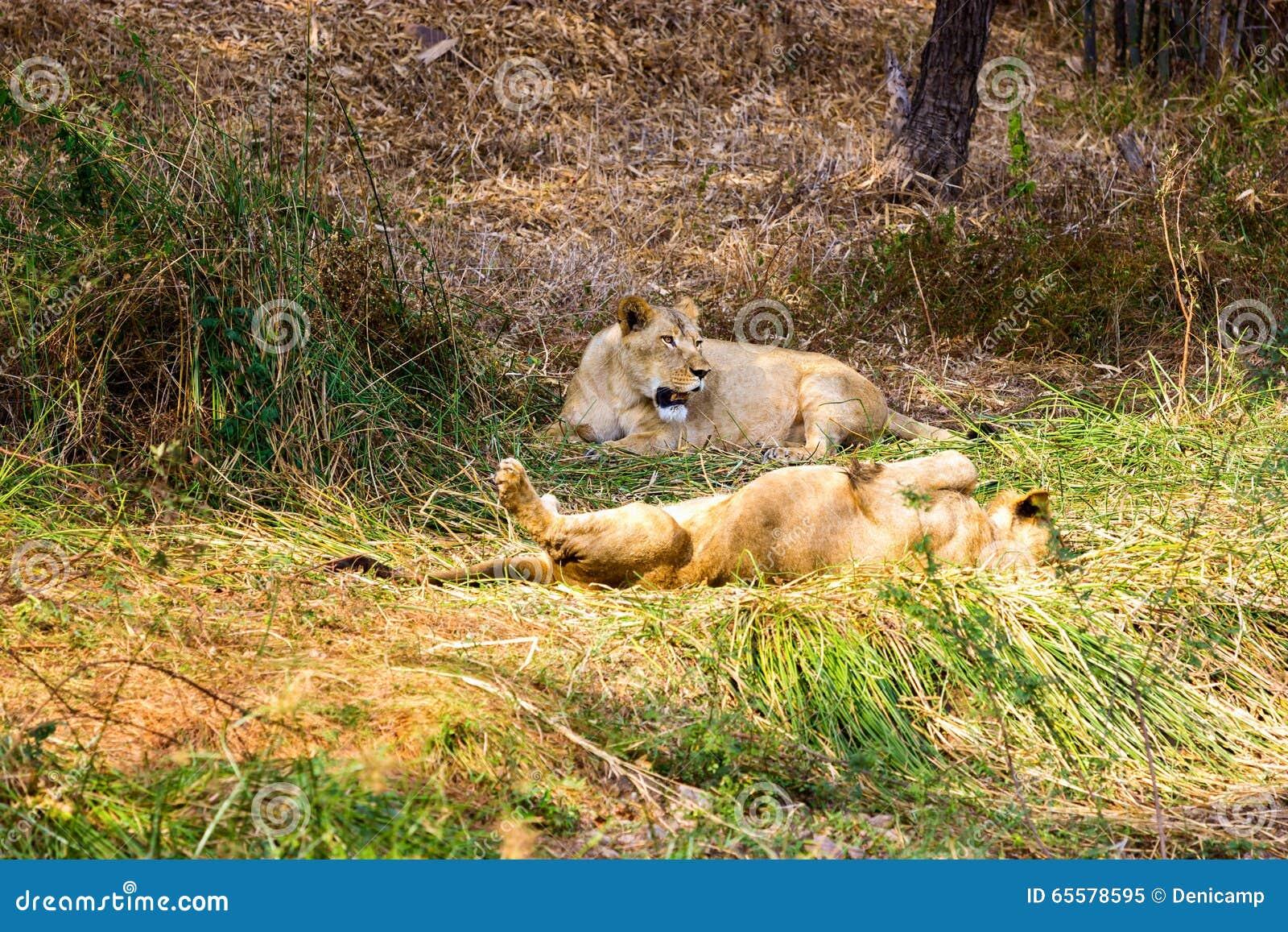 O muito raro e espécie em vias de extinção de leão asiático