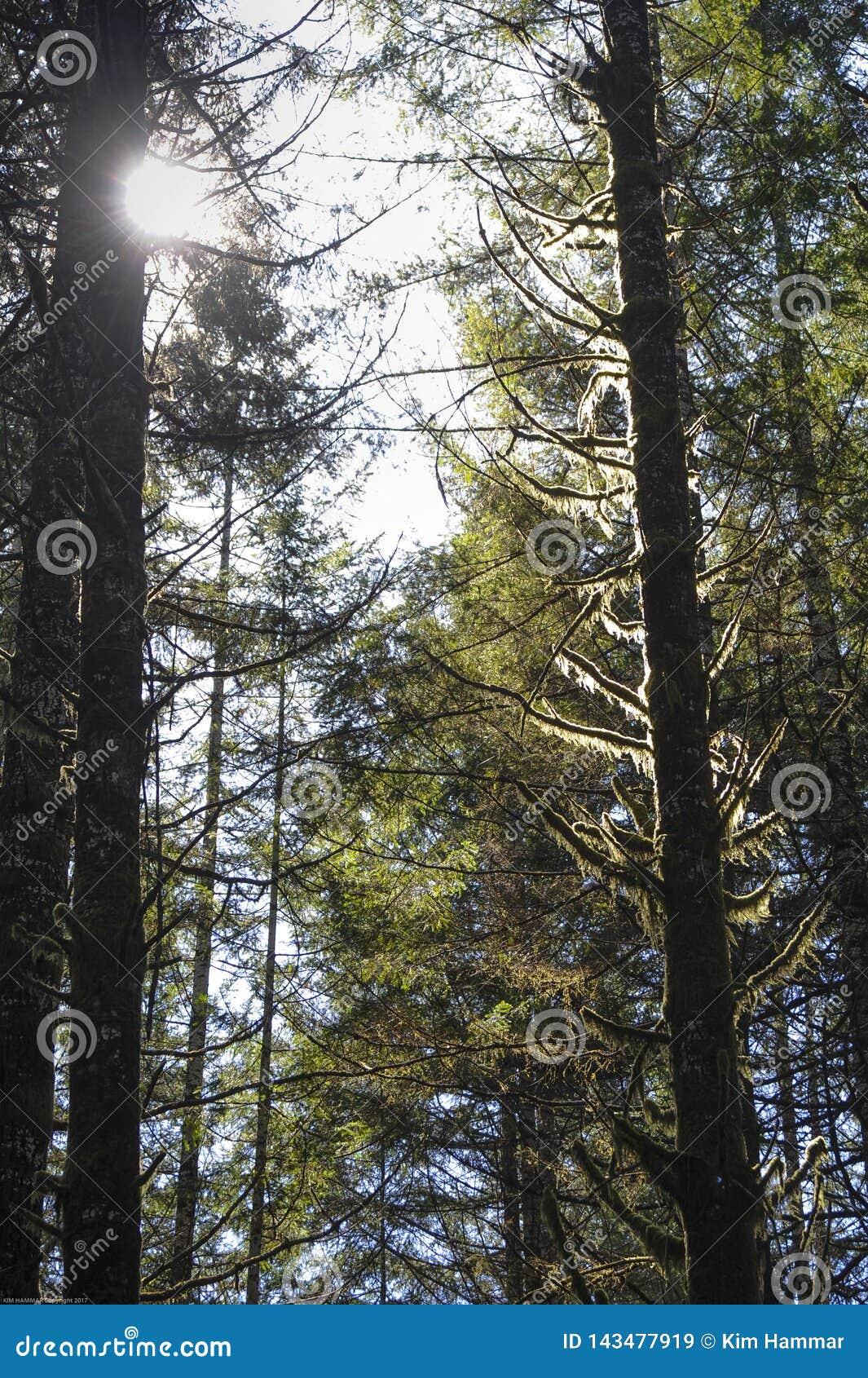 O musgo retroiluminado pendura das árvores nos reis Vale Estrada em Oregon