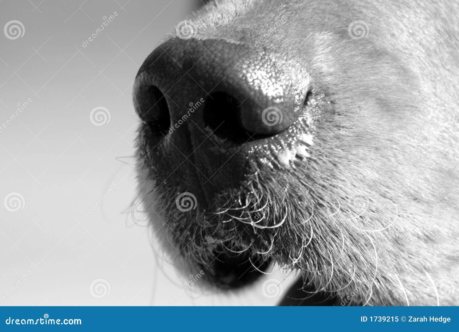 O nariz de cão melhor