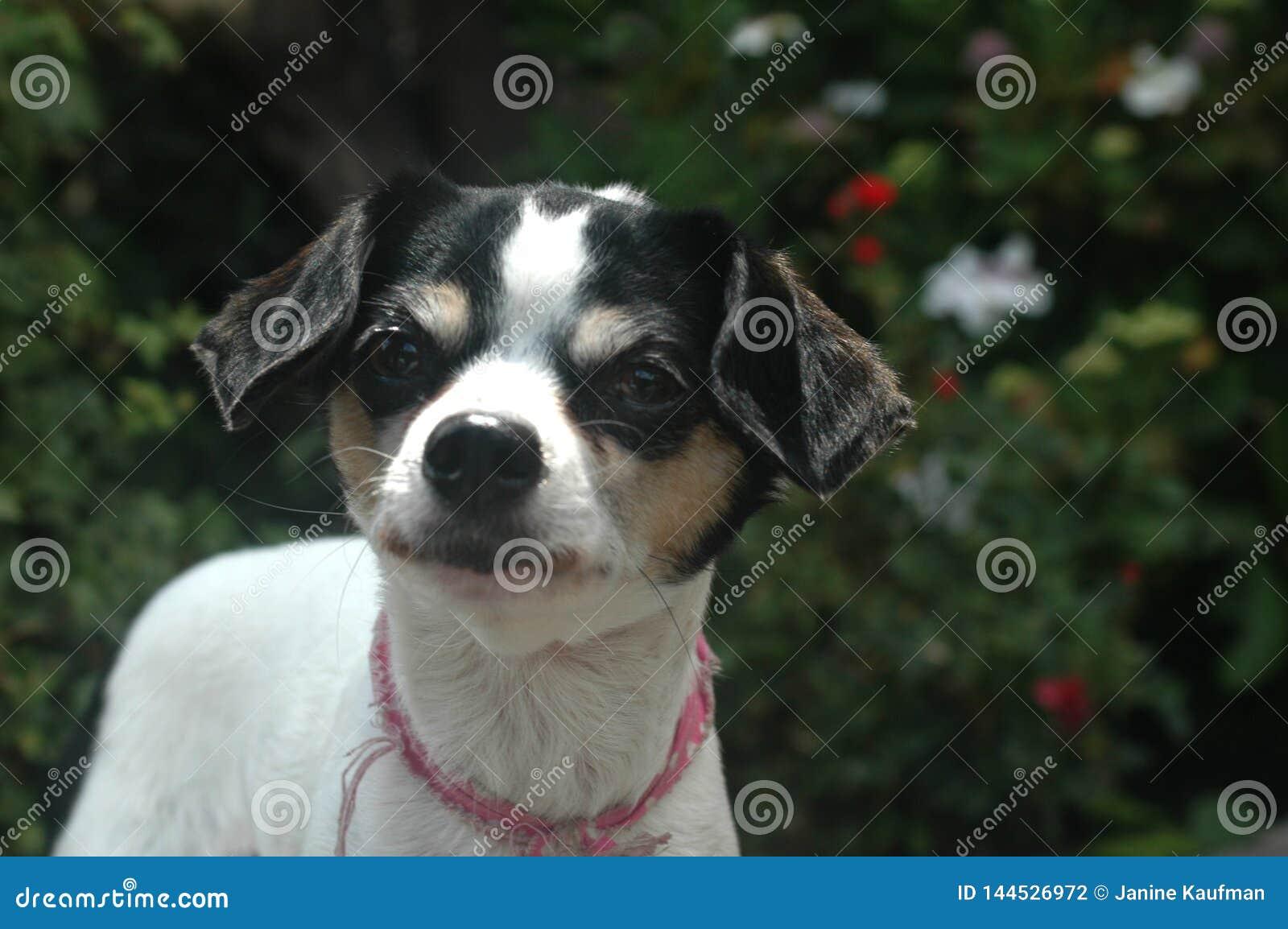 O olhar fêmea de cabelo liso curto branco e preto da chihuahua saiu