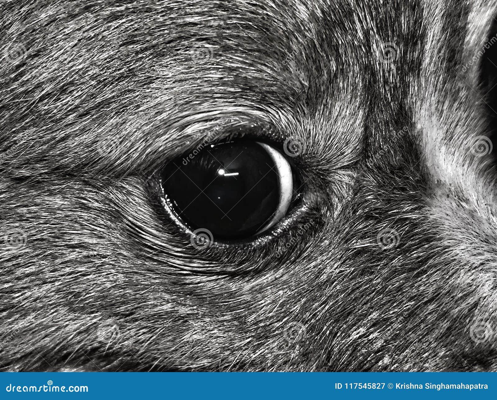 O olho de um cão