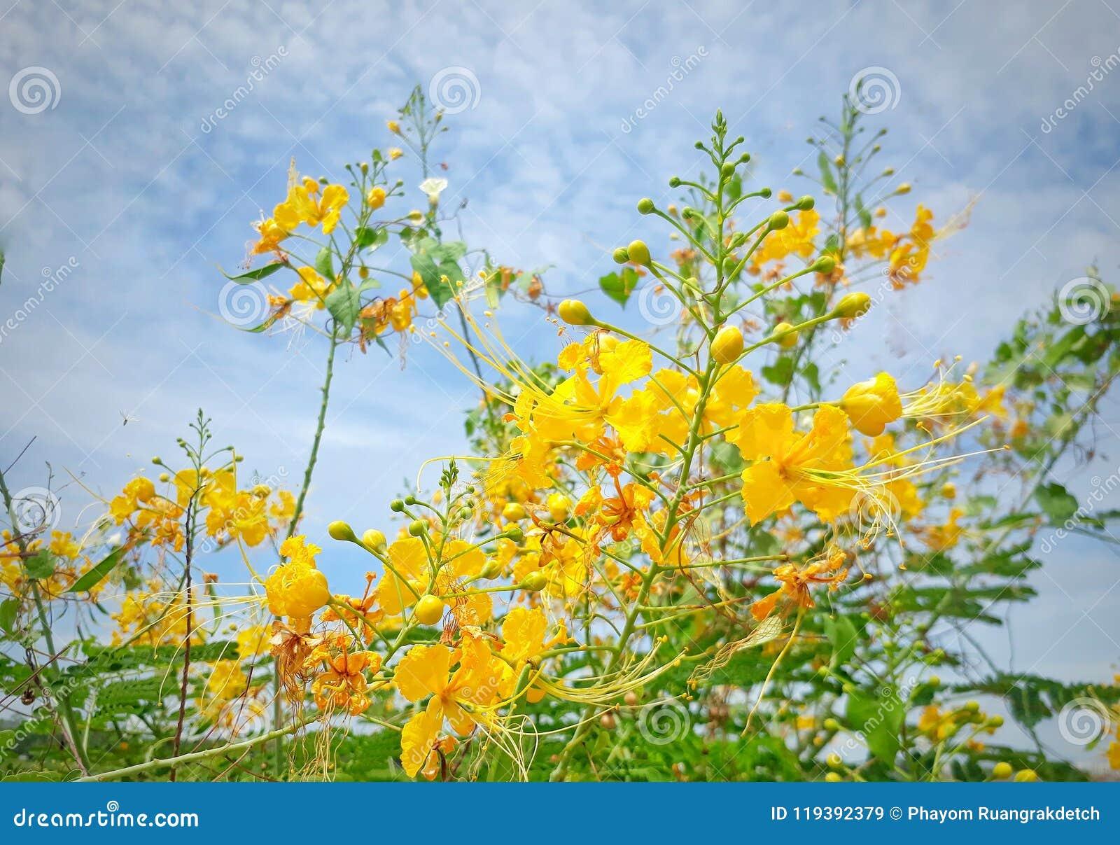 O orgulho de Barbados é cerca fresca e medicinal da flor e céu azul