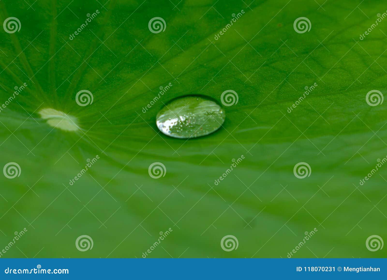 O orvalho está rolando na folha dos lótus